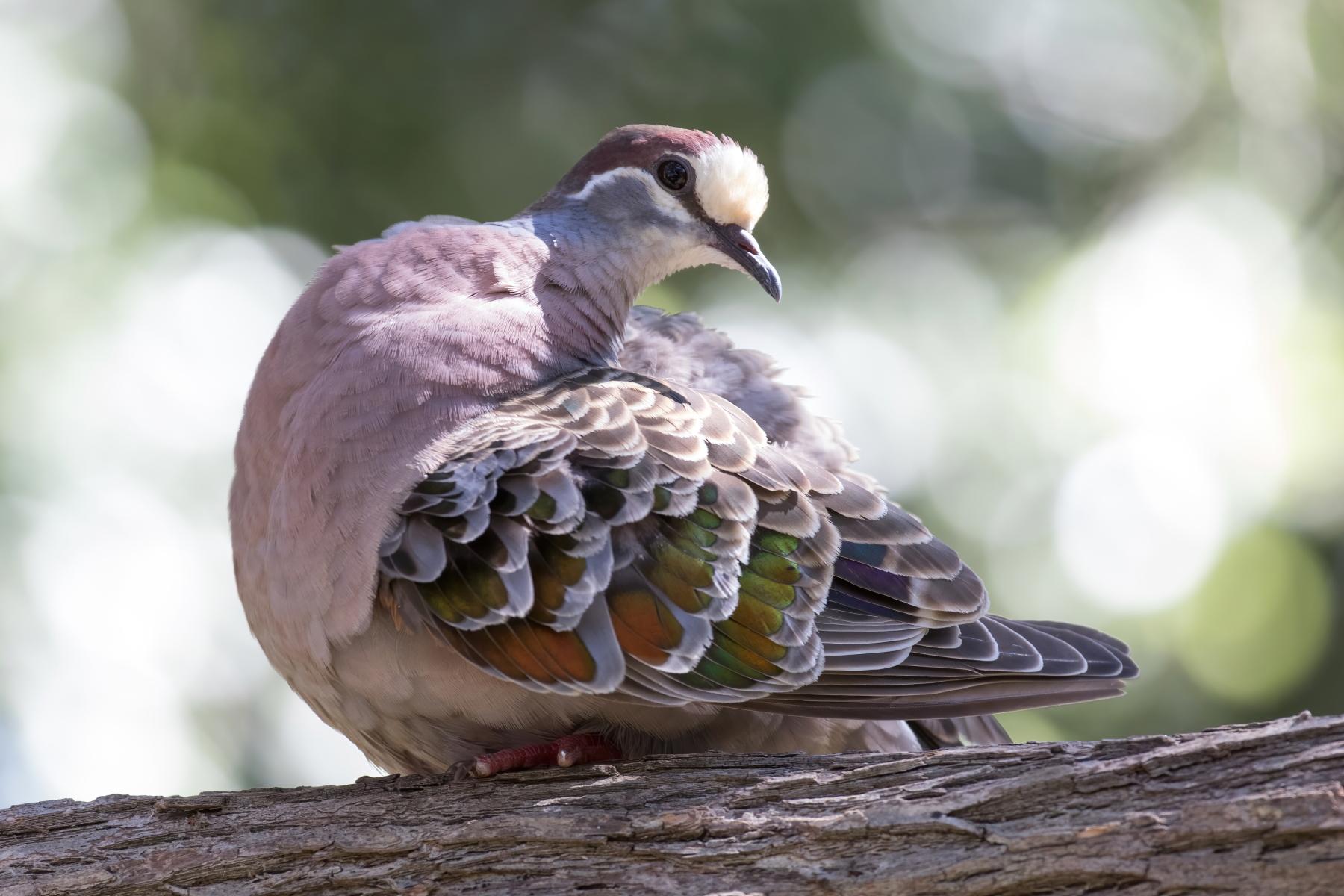 Common Bronzewing (Image ID 43120)
