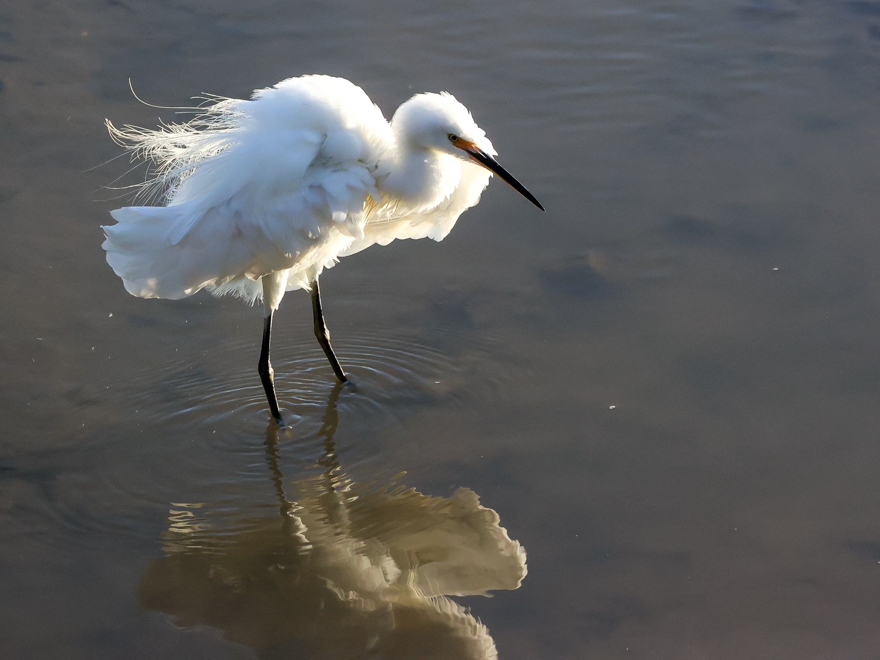 Little Egret (Image ID 43113)