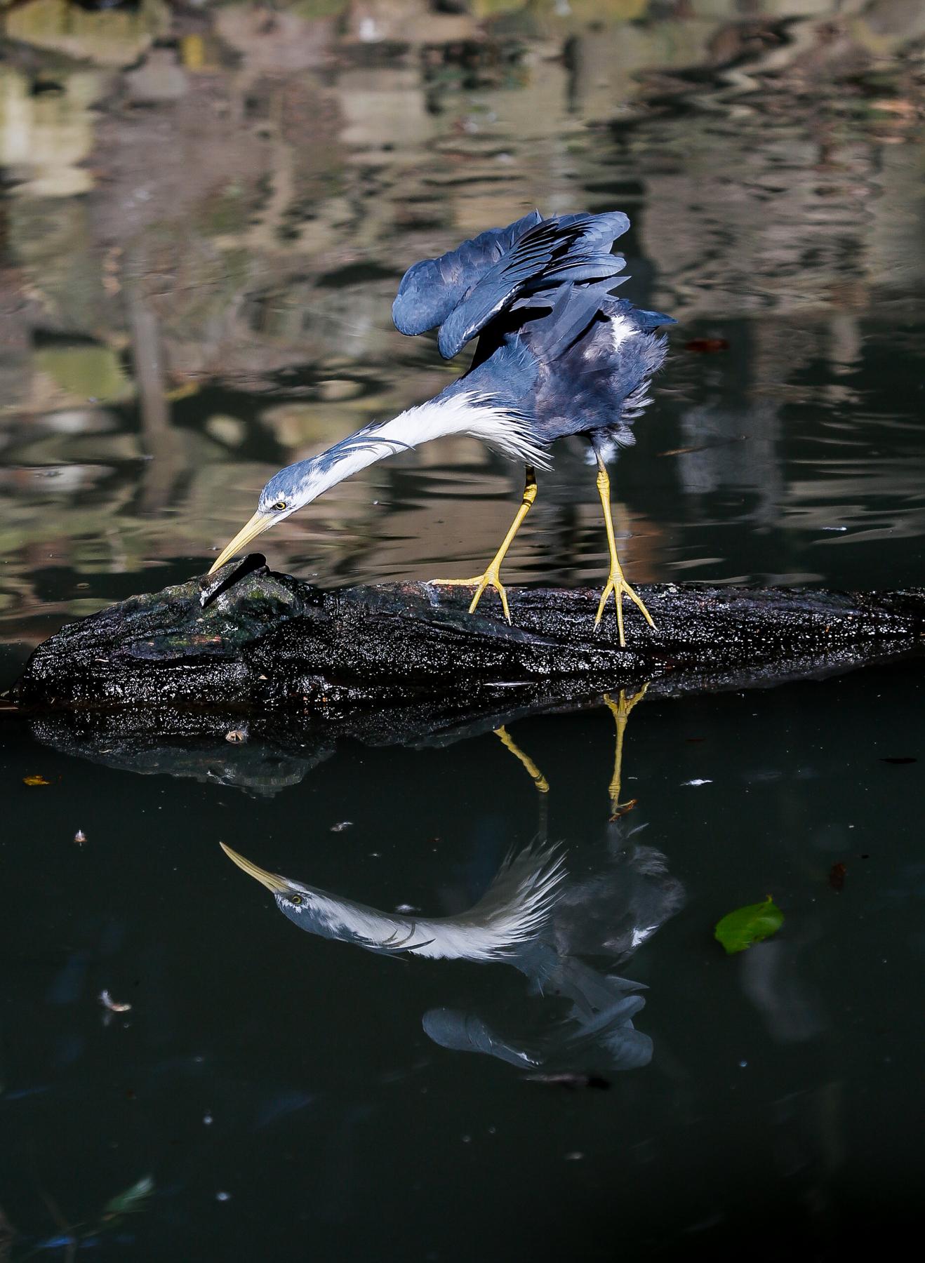 Pied Heron (Image ID 43110)