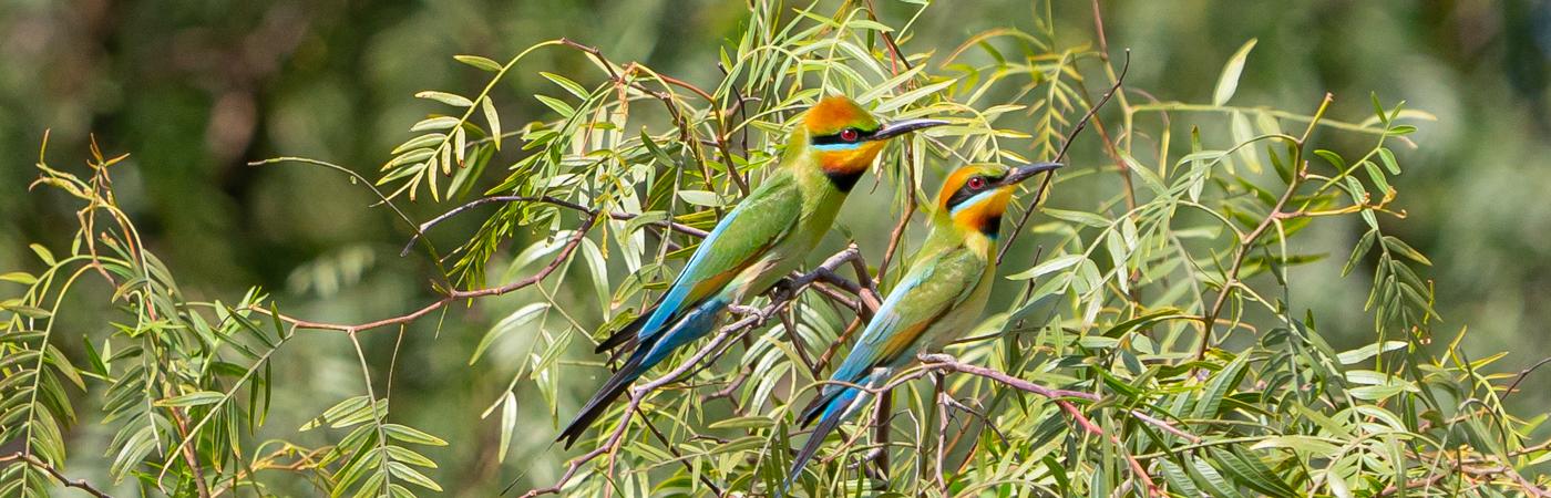 Rainbow Bee-eater (Image ID 43453)