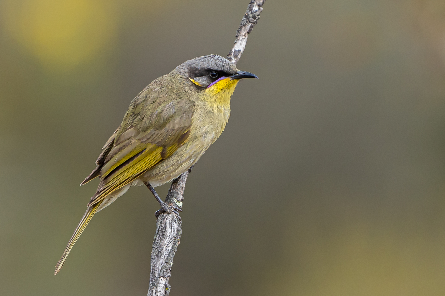 Purple-gaped Honeyeater (Image ID 43337)