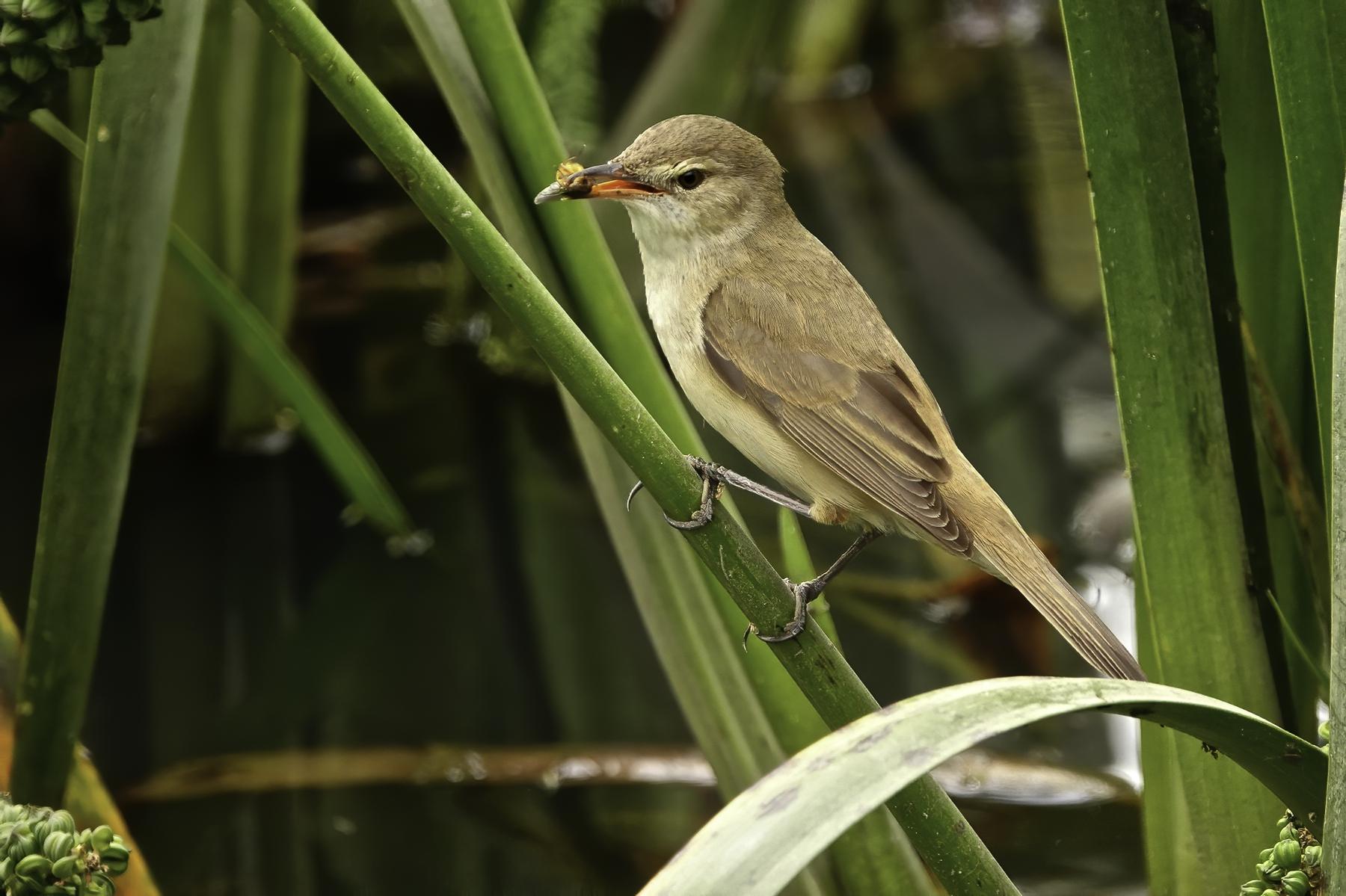 Australian Reed-Warbler (Image ID 43277)