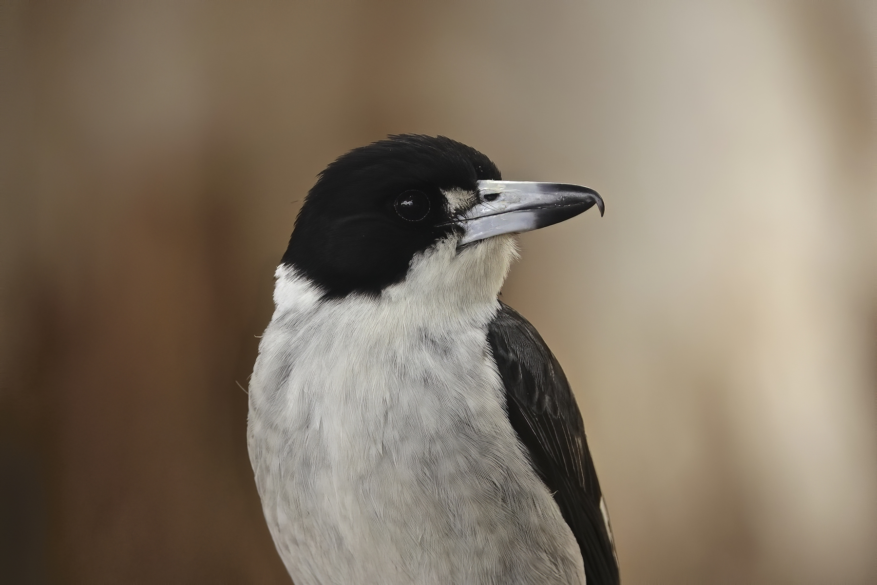 Grey Butcherbird (Image ID 43309)