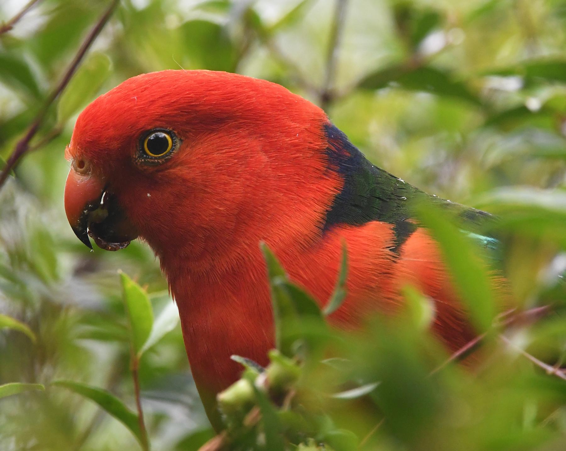 Australian King-Parrot (Image ID 43638)