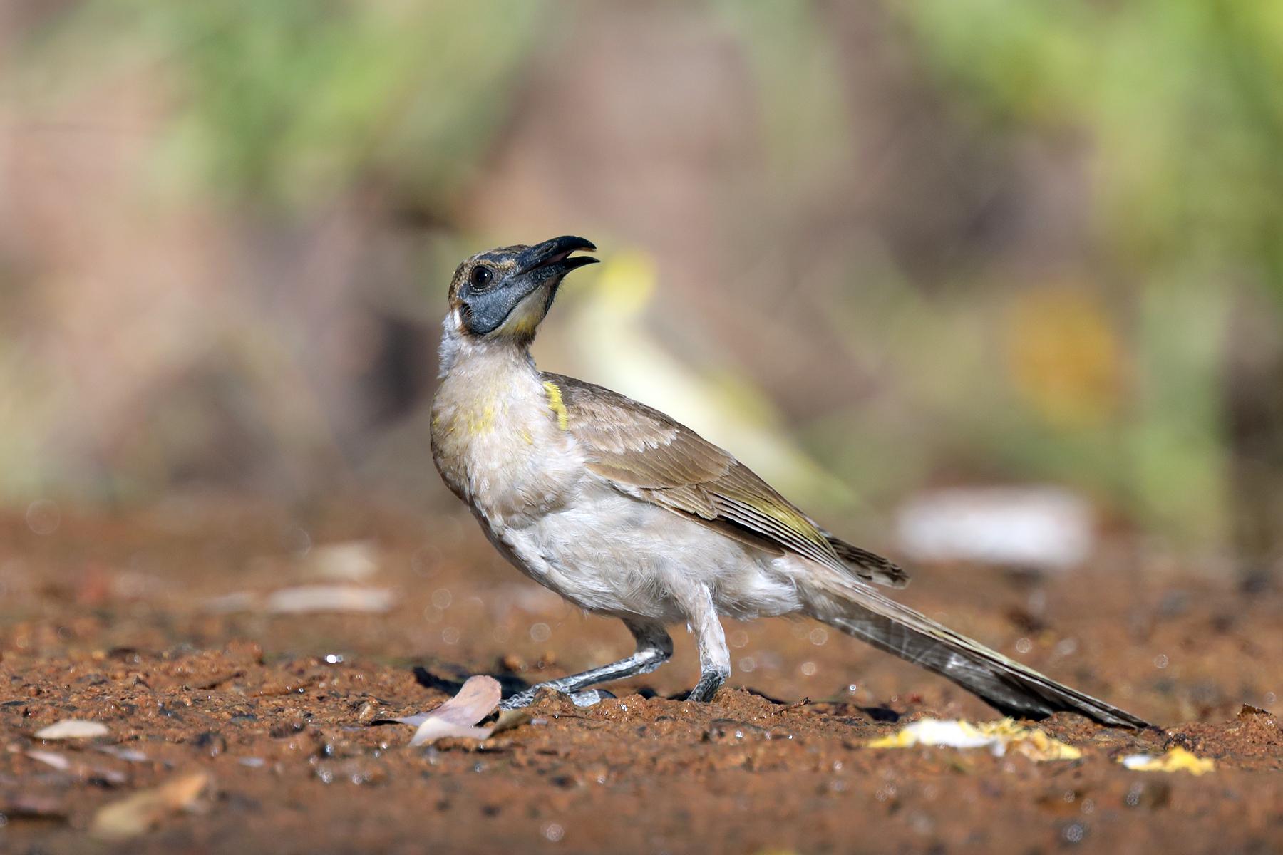 Little Friarbird (Image ID 43418)