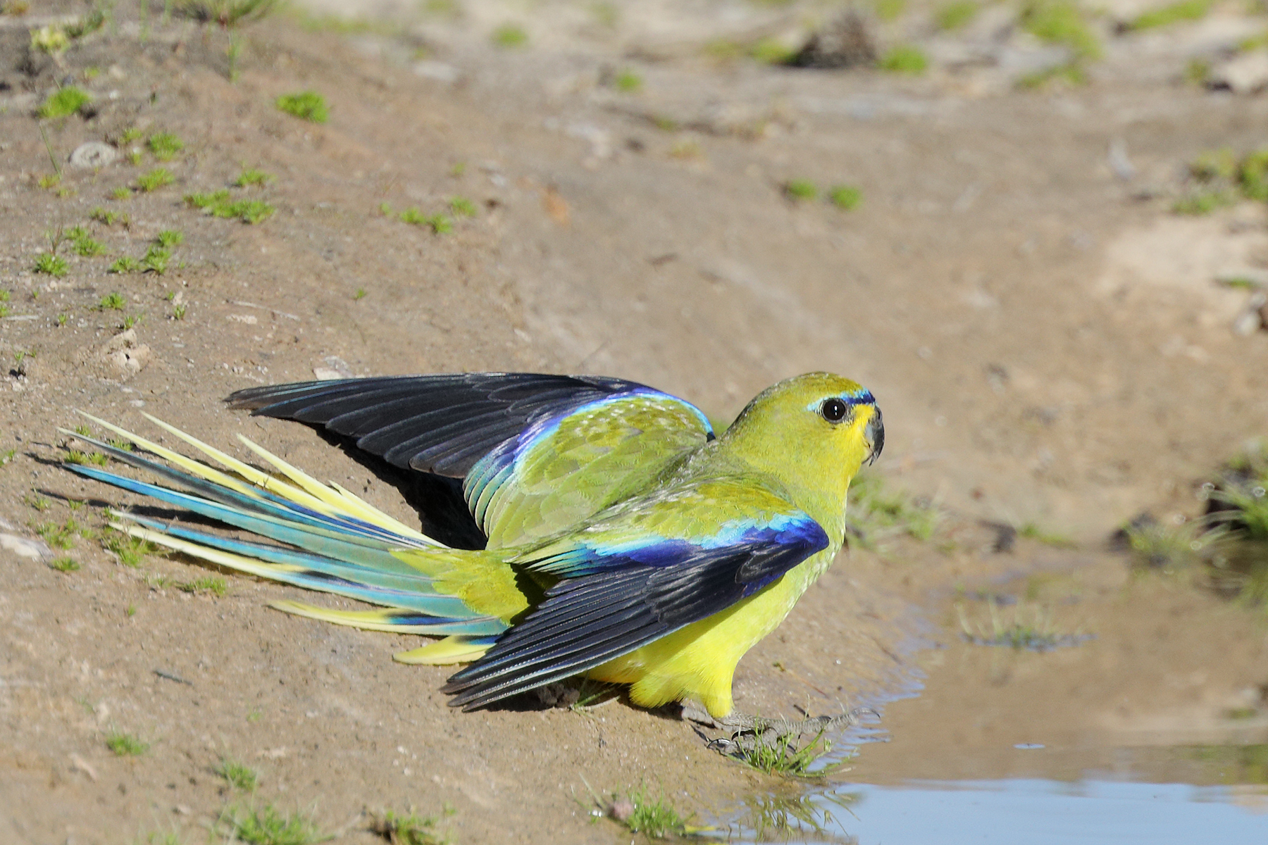 Elegant Parrot (Image ID 43360)