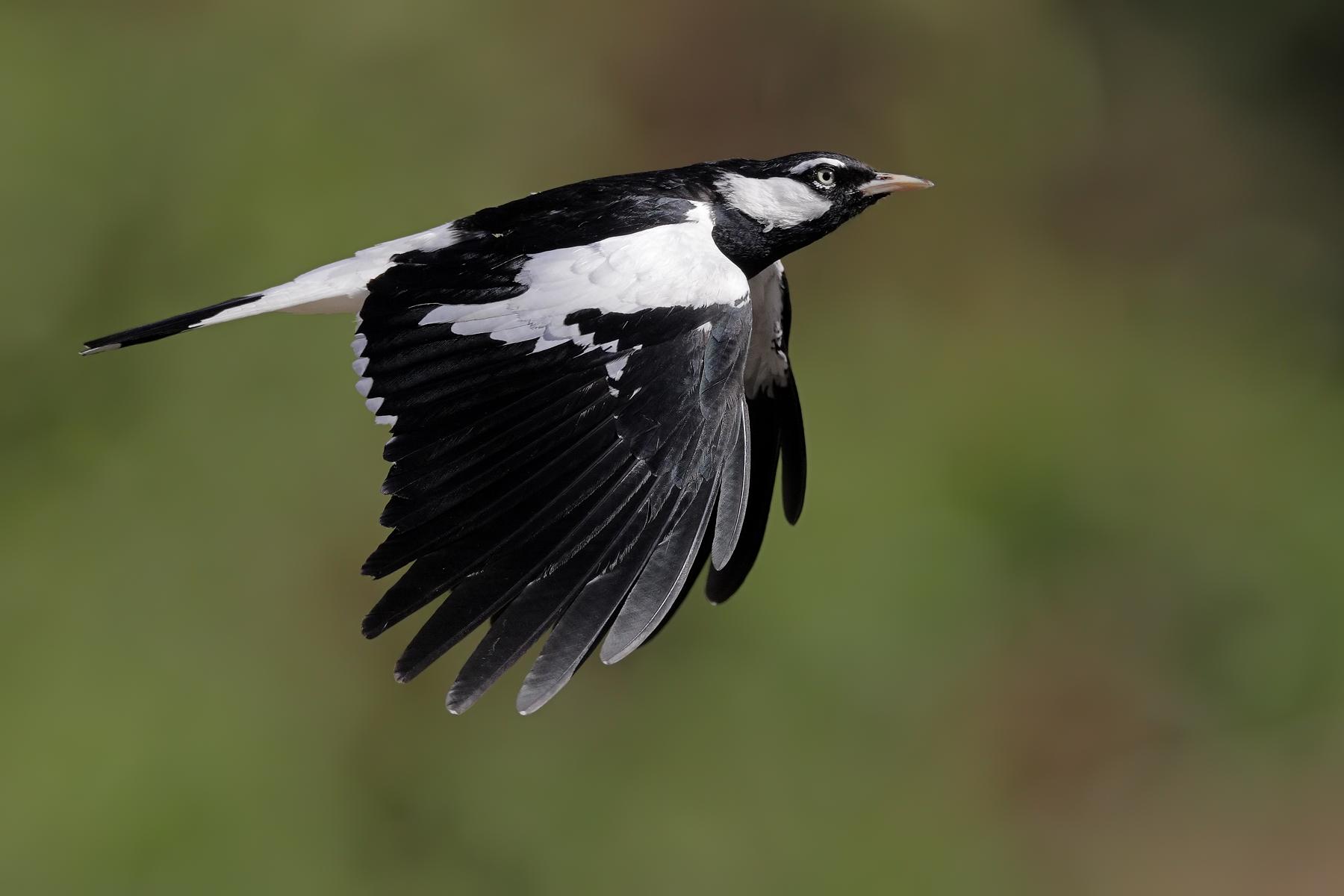 Magpie-lark (Image ID 43563)