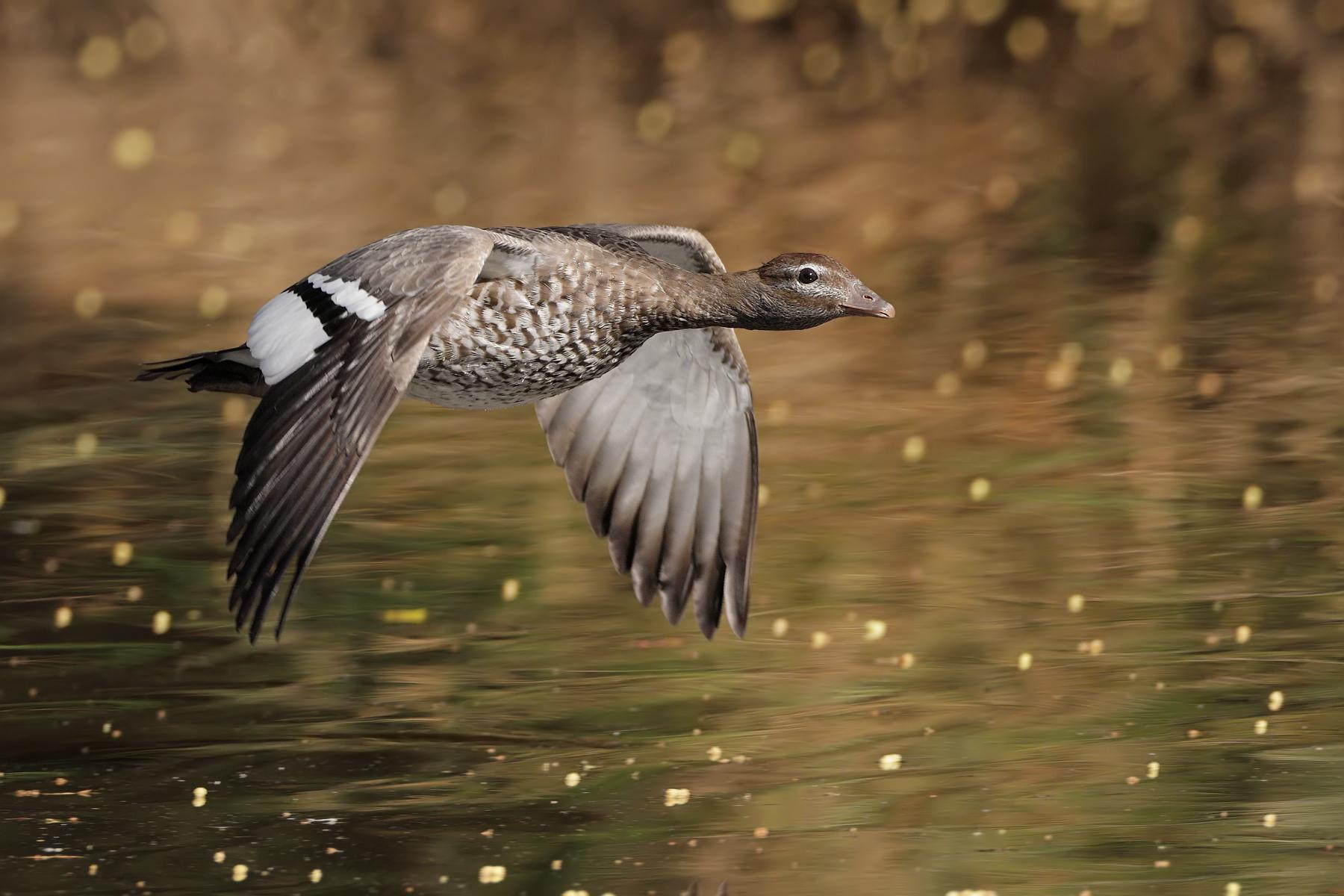 Australian Wood Duck (Image ID 43526)