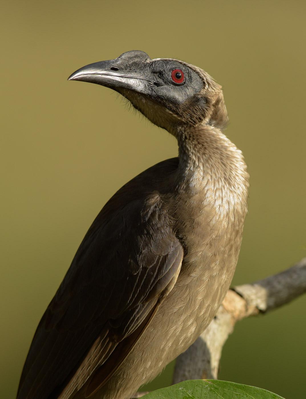 Helmeted Friarbird (Image ID 43308)
