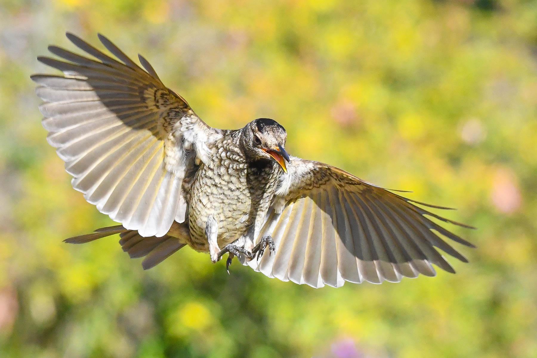 Regent Bowerbird (Image ID 43439)