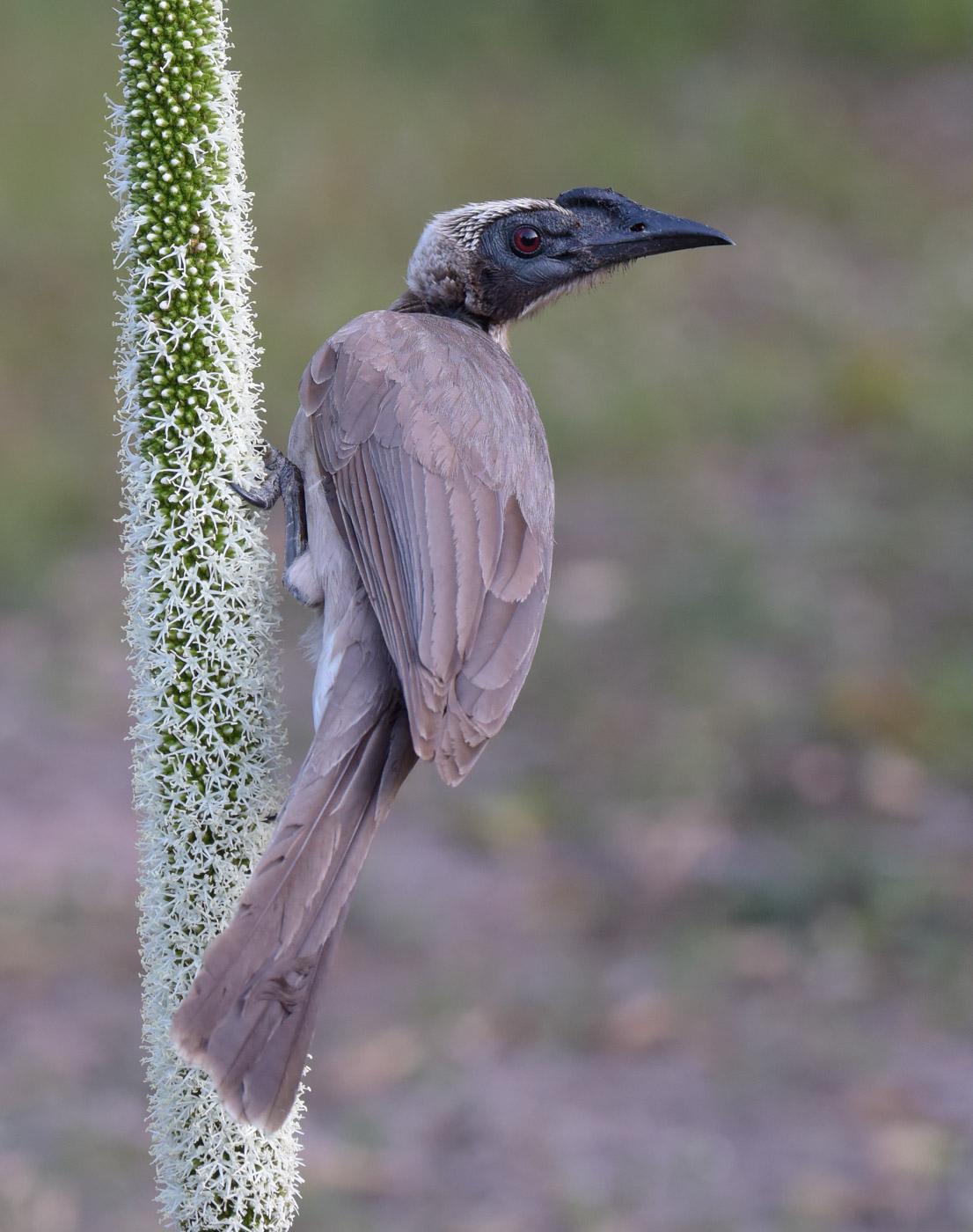 Helmeted Friarbird (Image ID 43307)