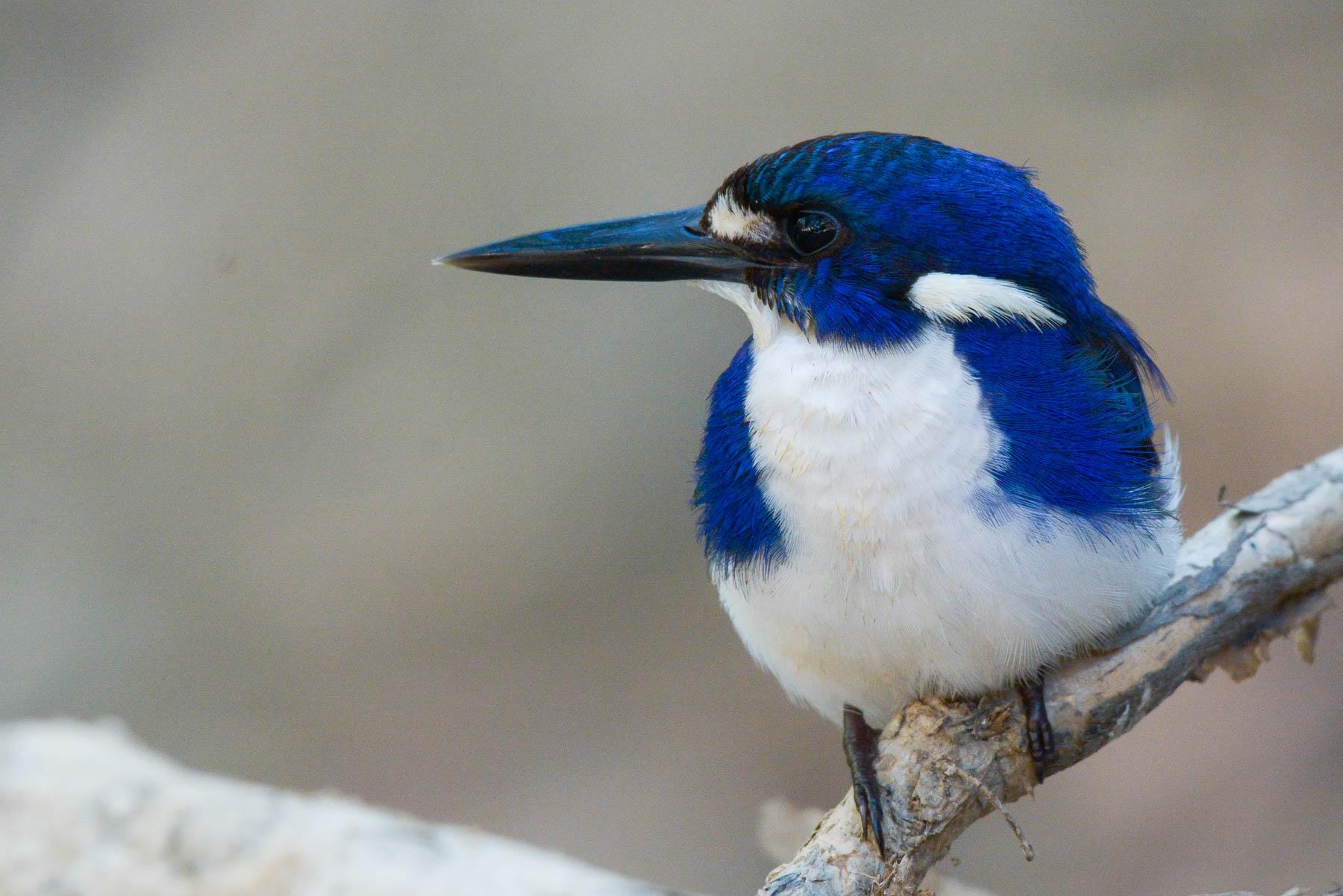 Little Kingfisher (Image ID 43511)