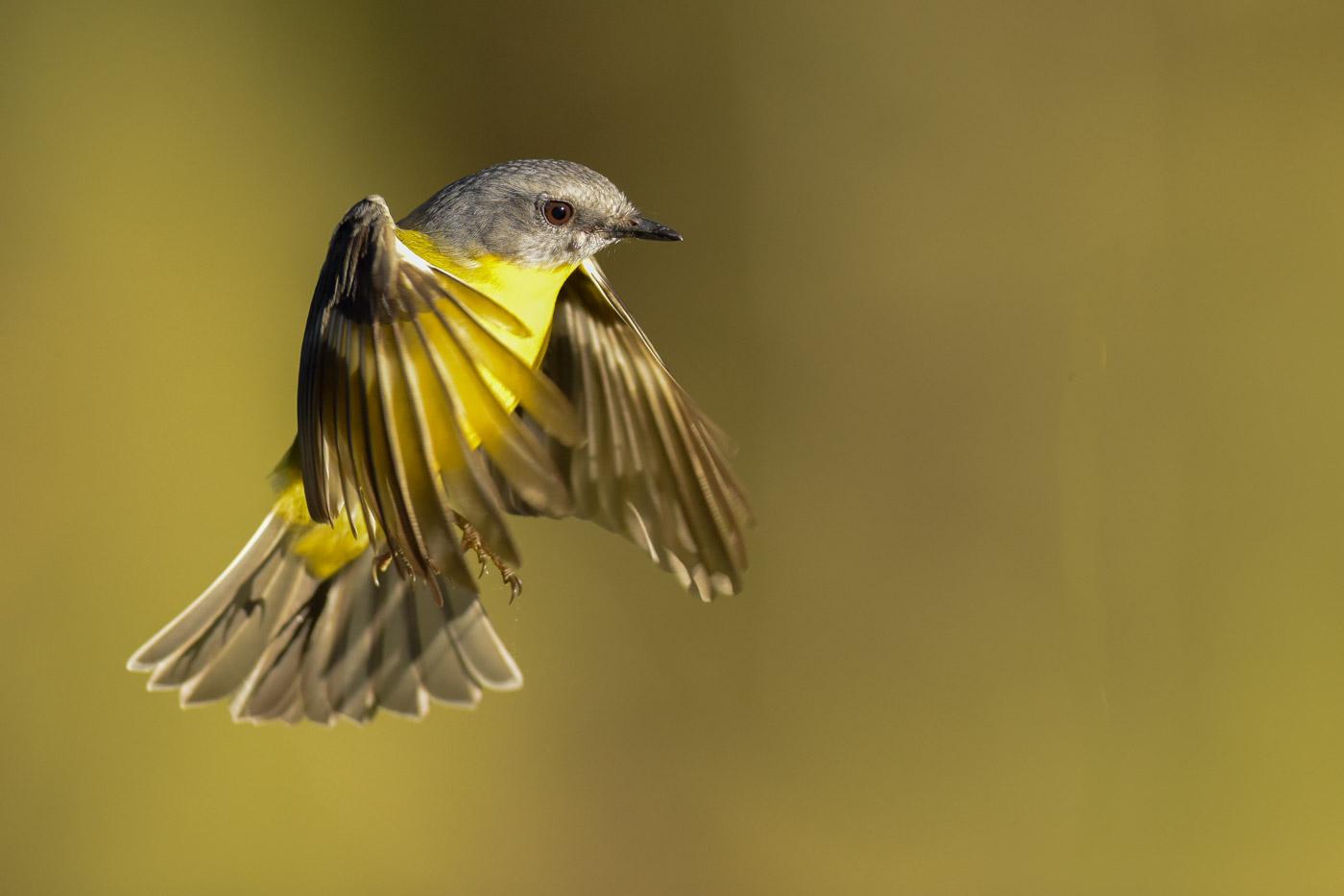 Eastern Yellow Robin (Image ID 43370)