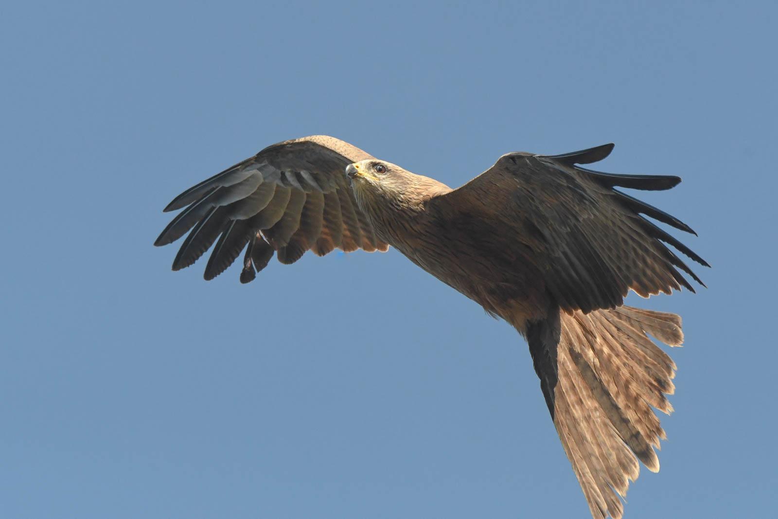 Black Kite (Image ID 43390)