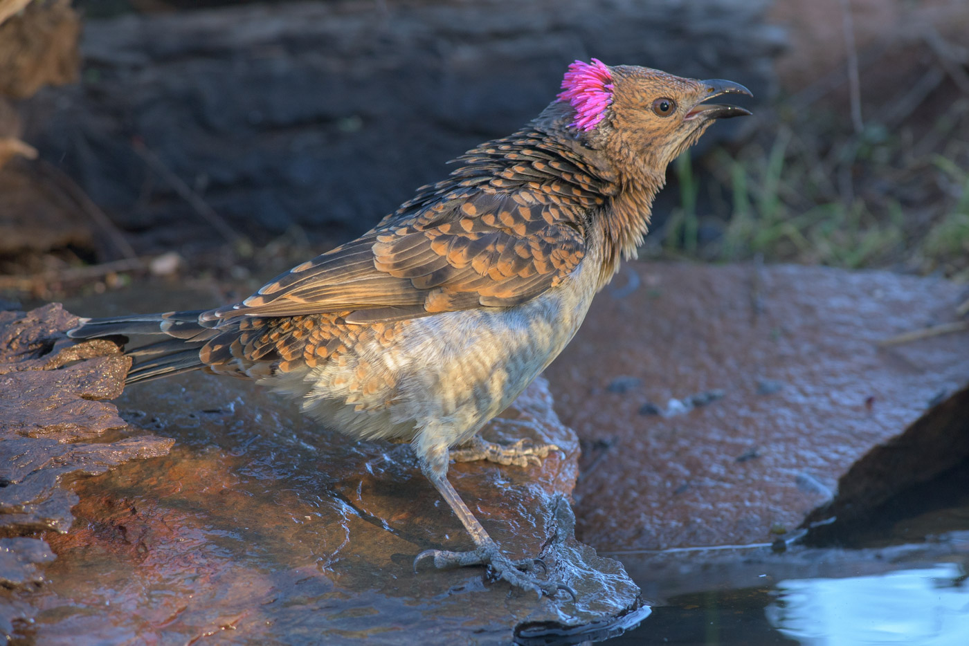 Spotted Bowerbird (Image ID 43266)