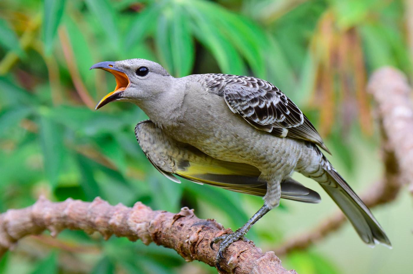 Great Bowerbird (Image ID 43265)