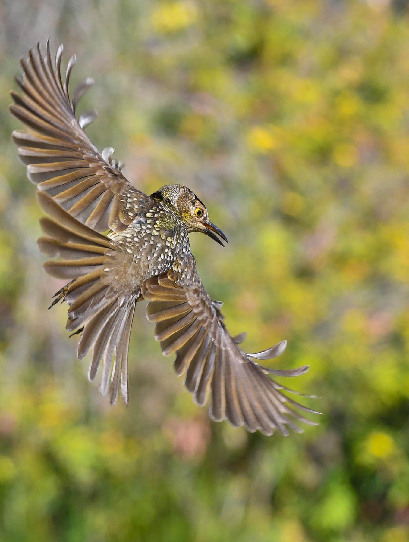 Regent Bowerbird (Image ID 43457)