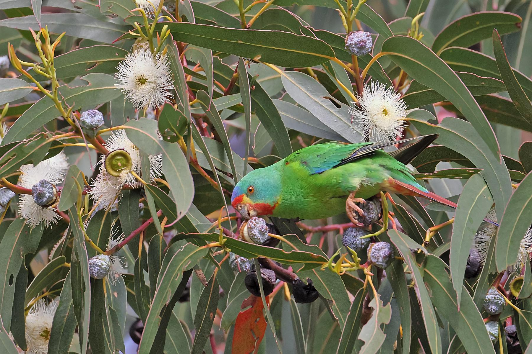 Swift Parrot (Image ID 43294)
