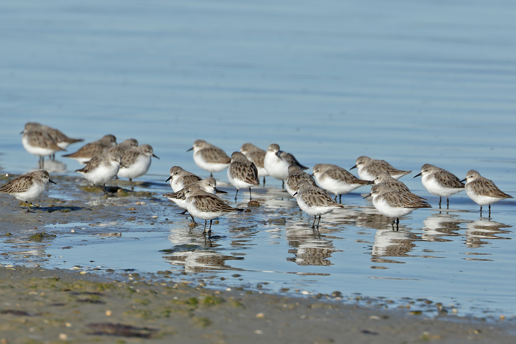 Red-necked Stint (Image ID 43215)