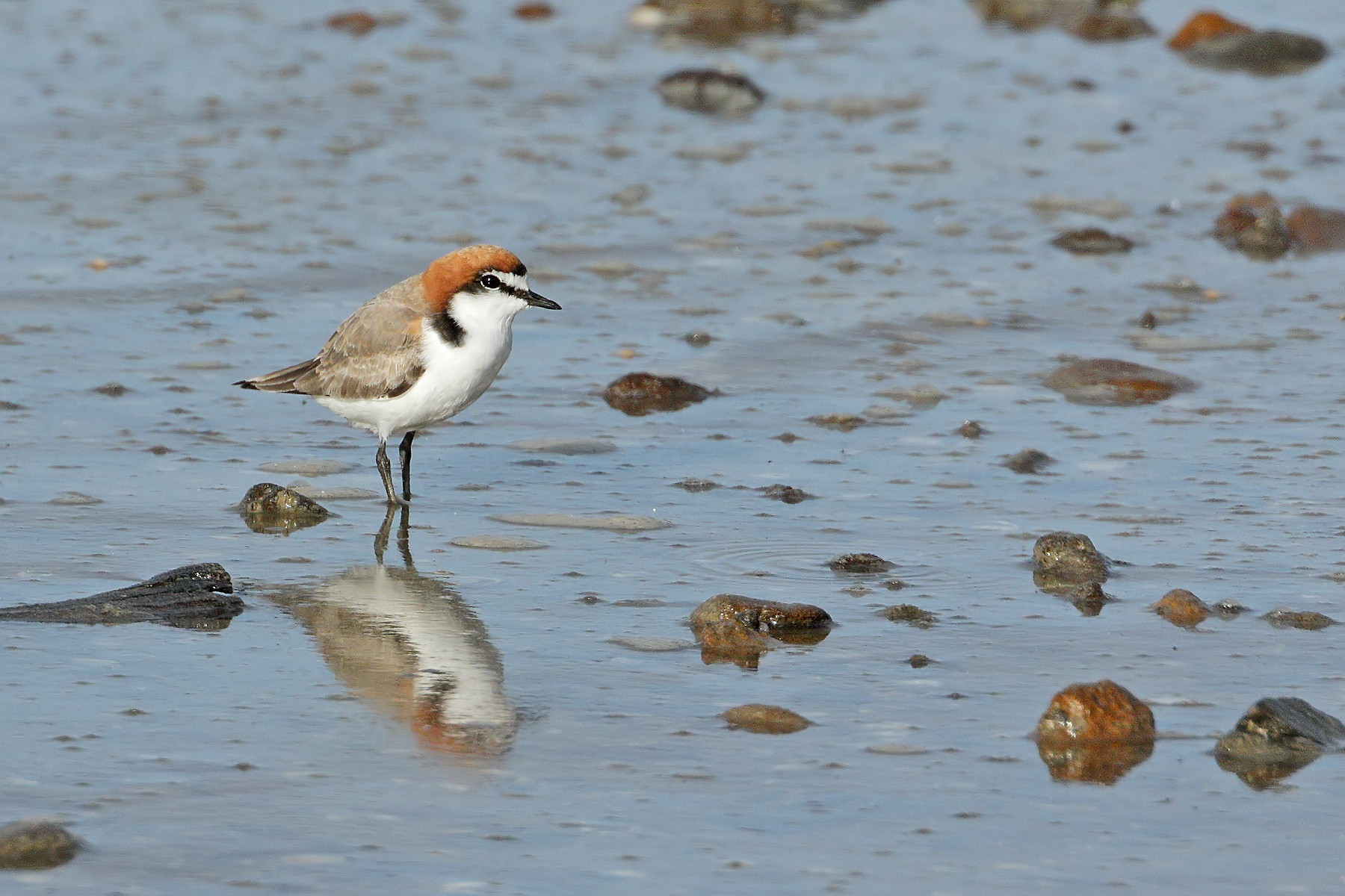 Red-capped Plover (Image ID 43306)