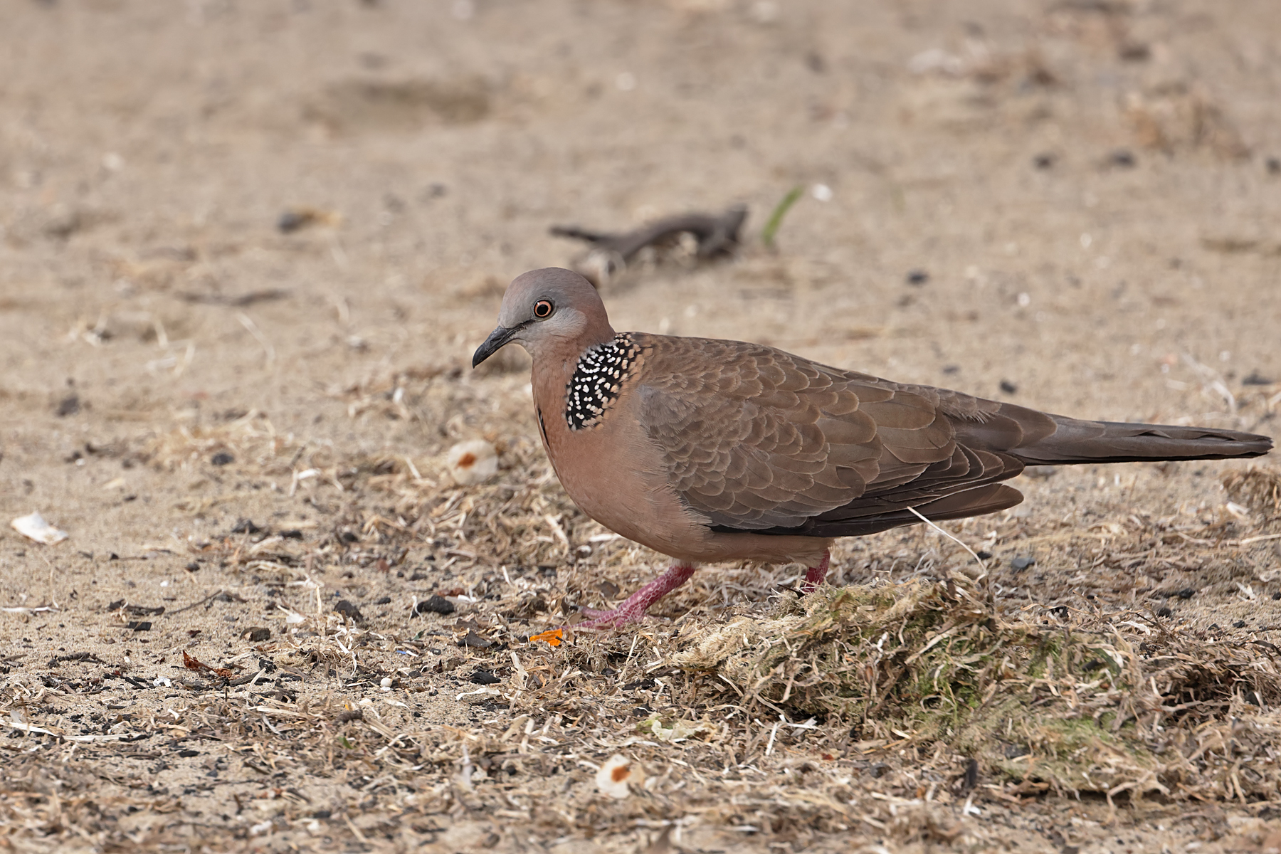 Spotted Dove (Image ID 43415)