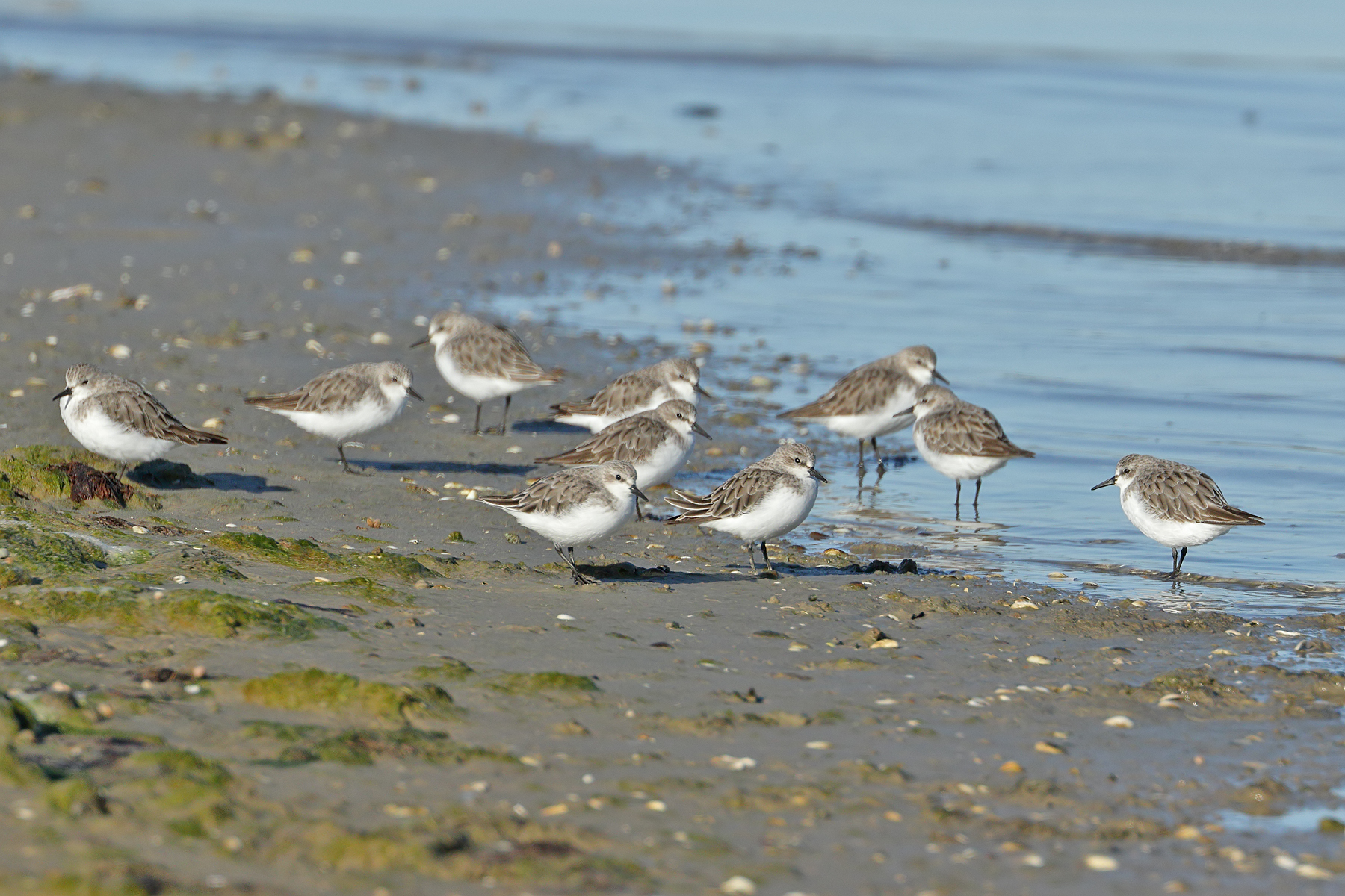 Red-necked Stint (Image ID 43214)