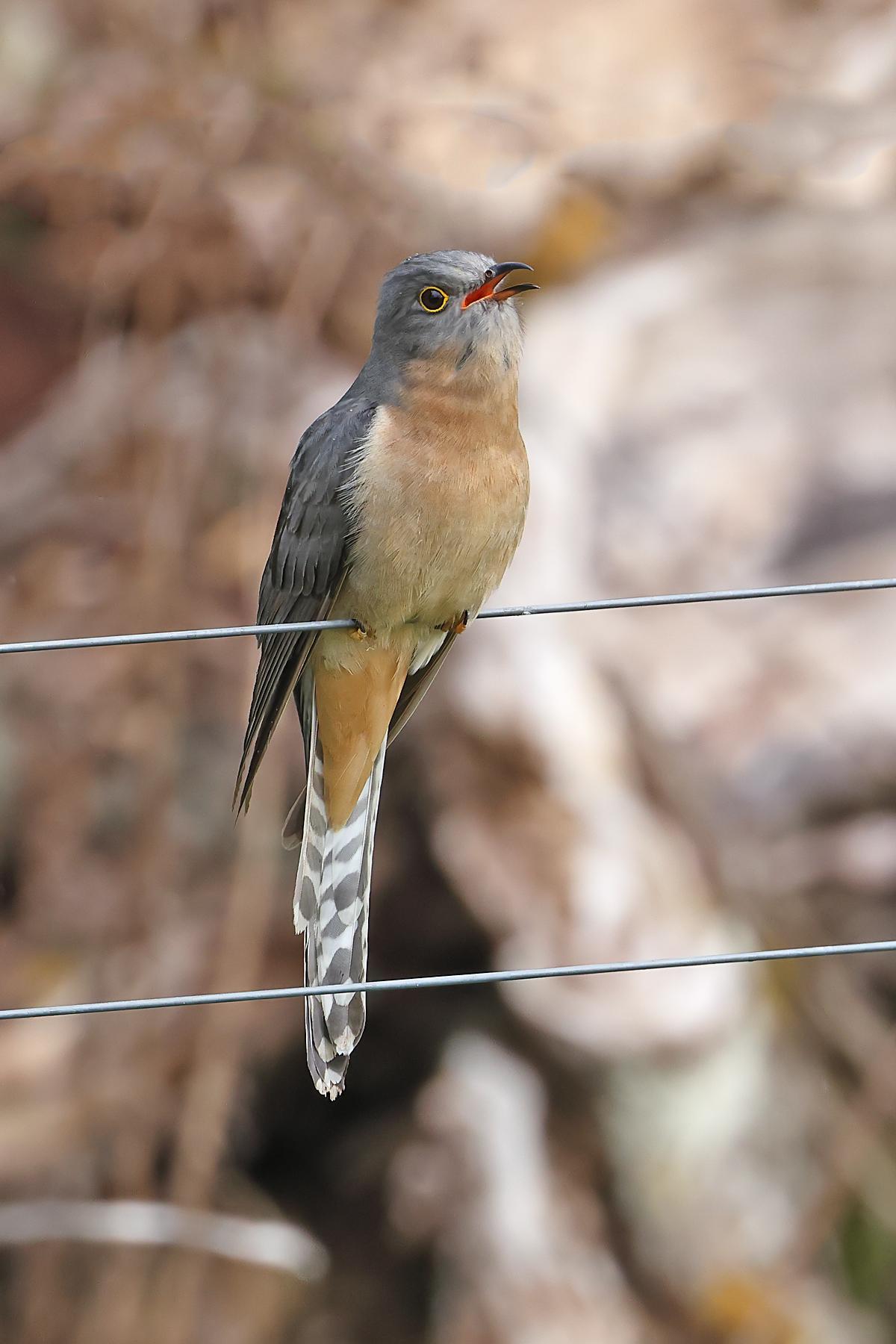 Fan-tailed Cuckoo (Image ID 43348)