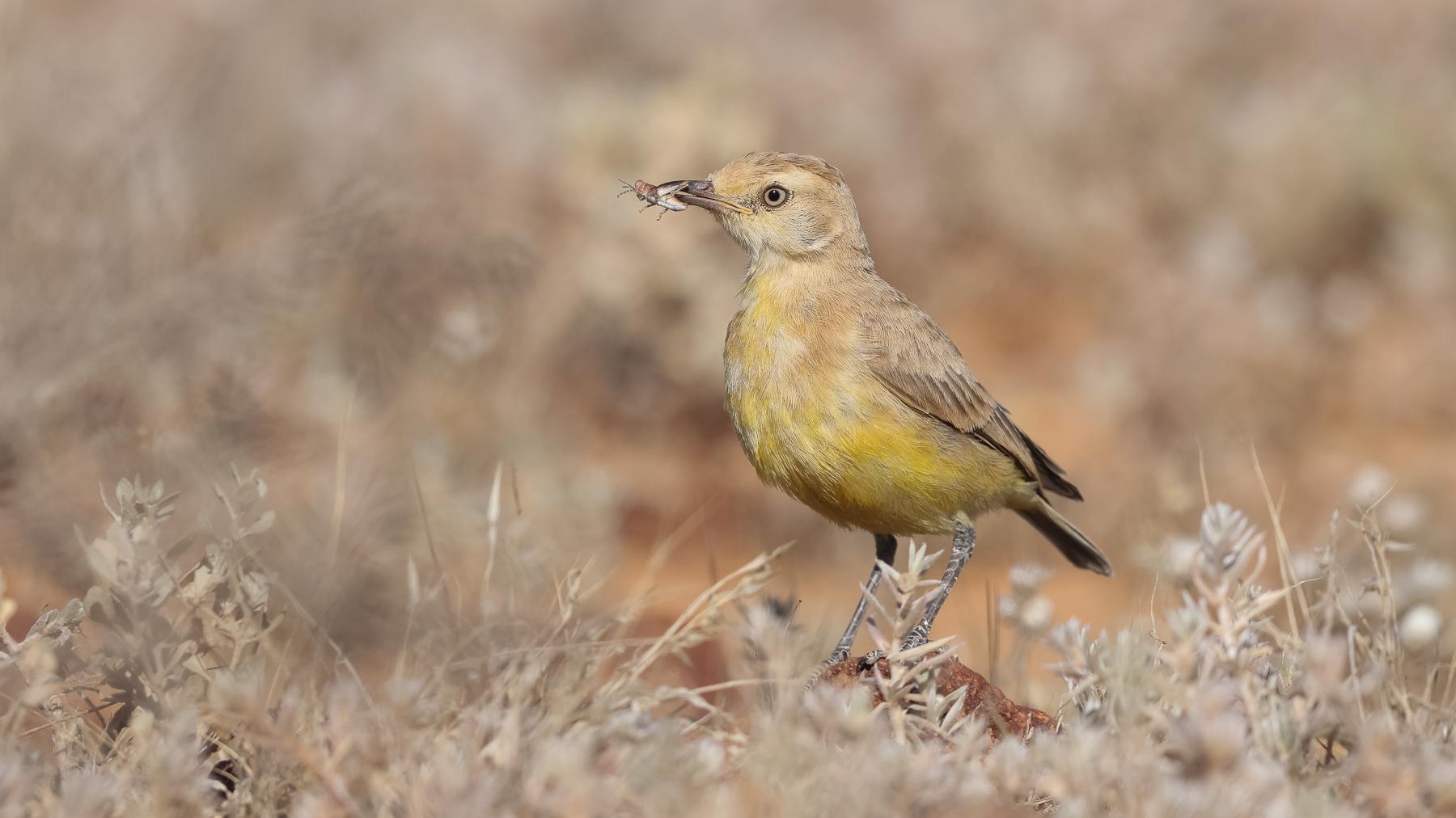 Gibberbird (Image ID 43645)