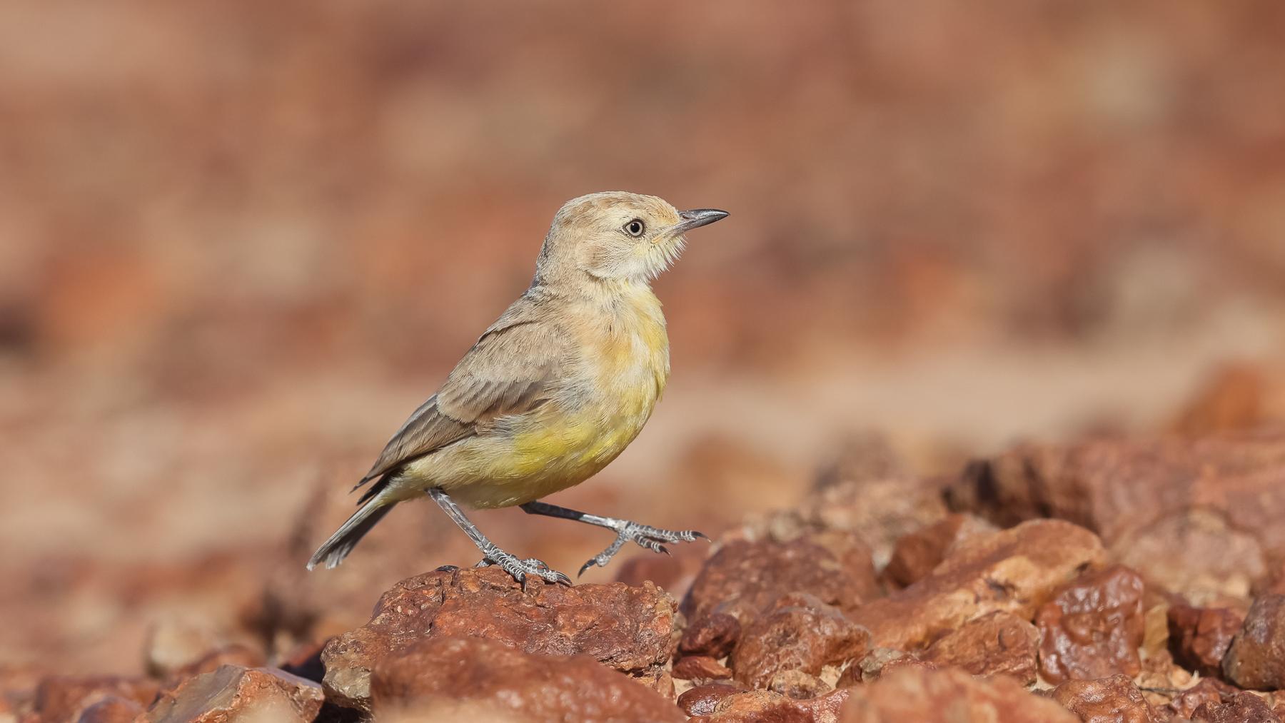 Gibberbird (Image ID 43644)