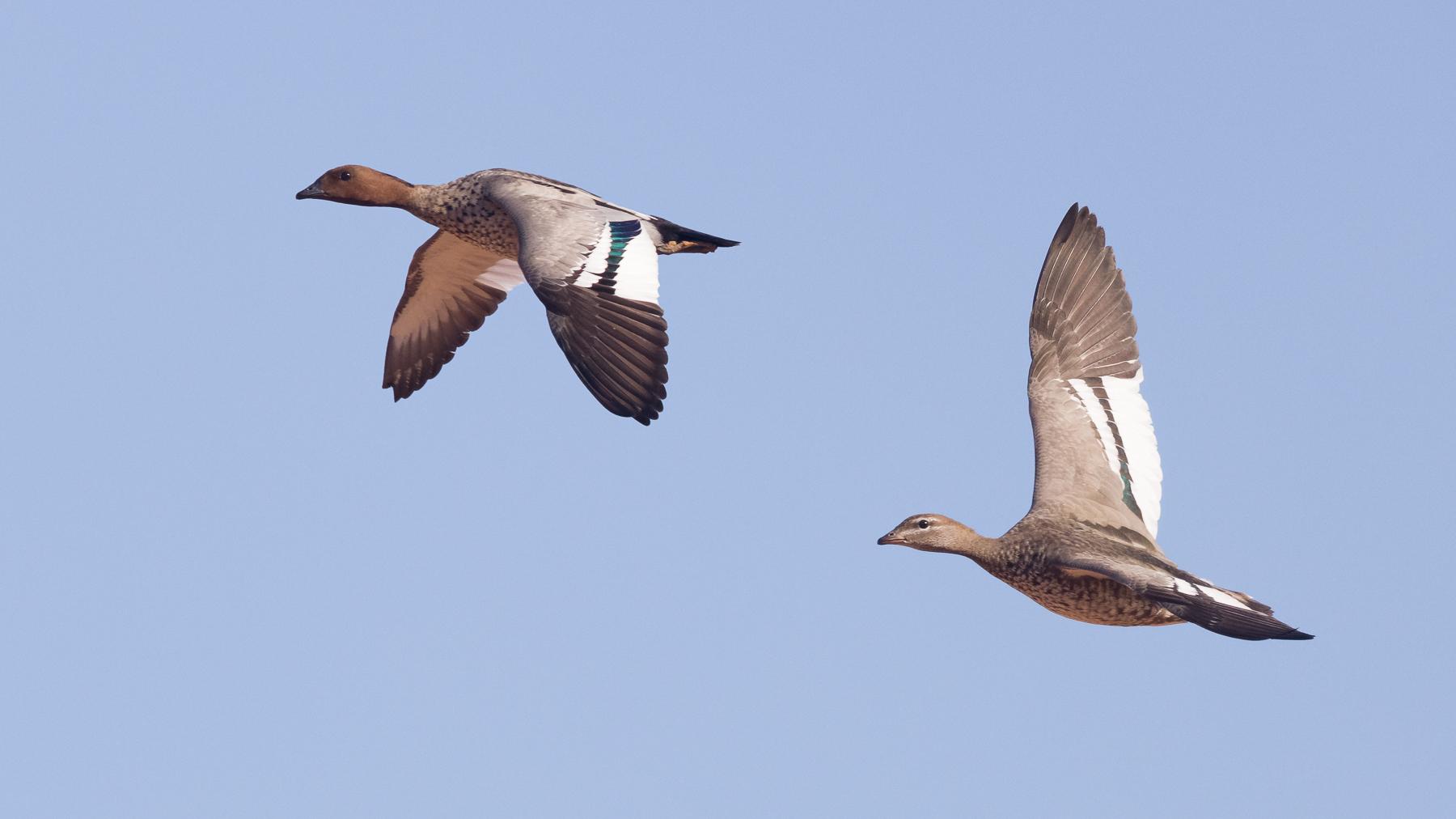 Australian Wood Duck (Image ID 43441)