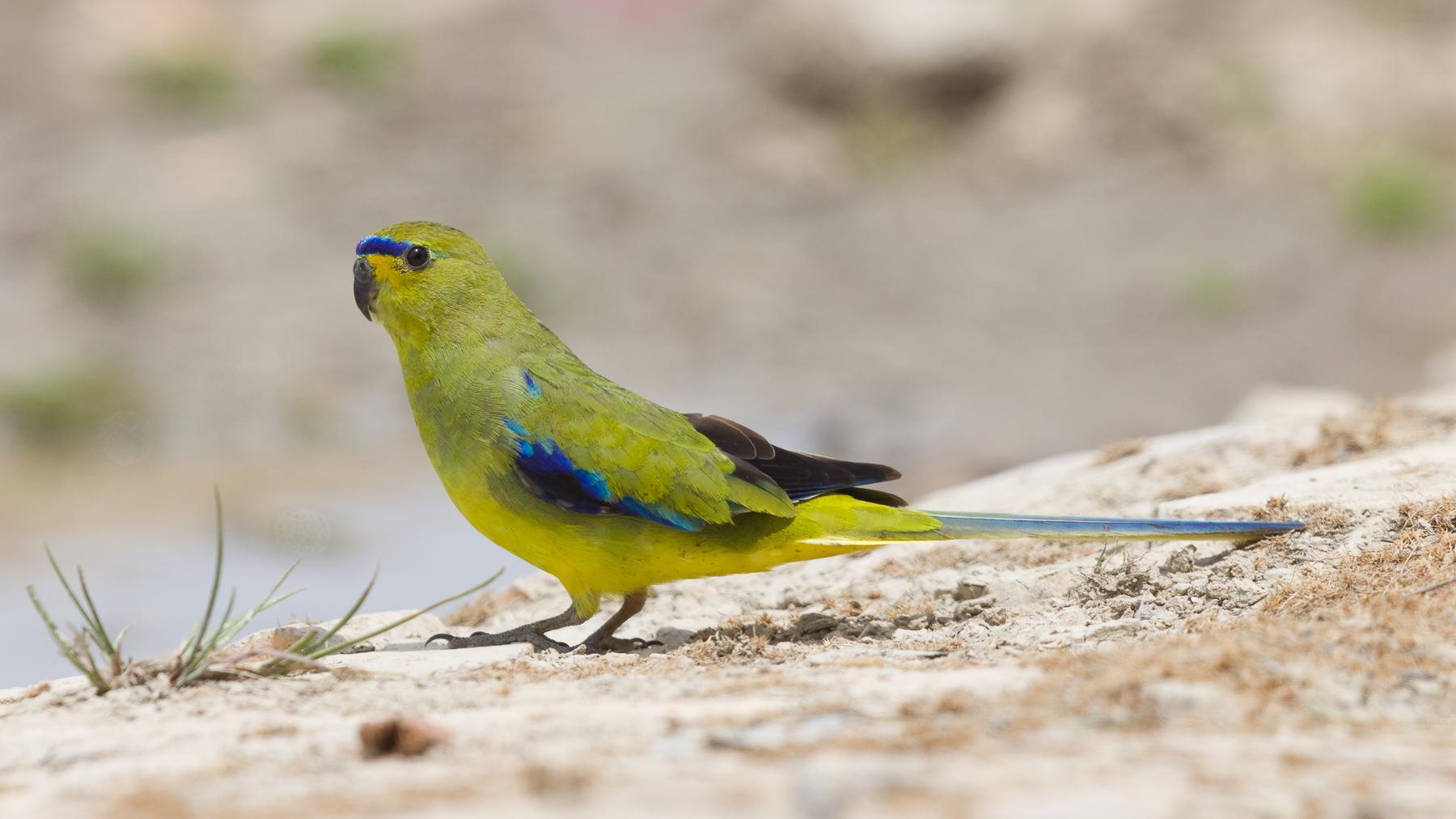 Elegant Parrot (Image ID 43607)