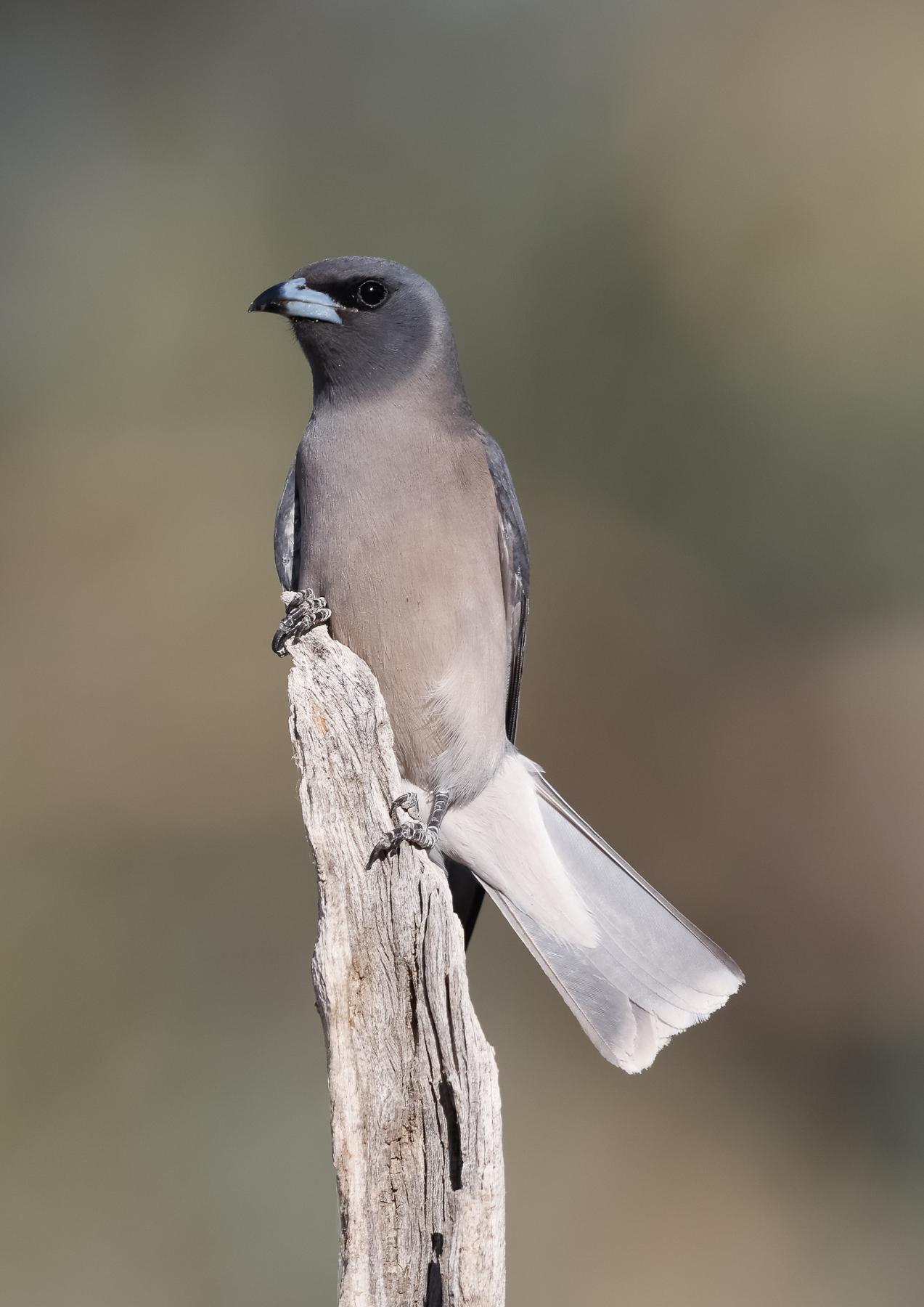 Masked Woodswallow (Image ID 43646)