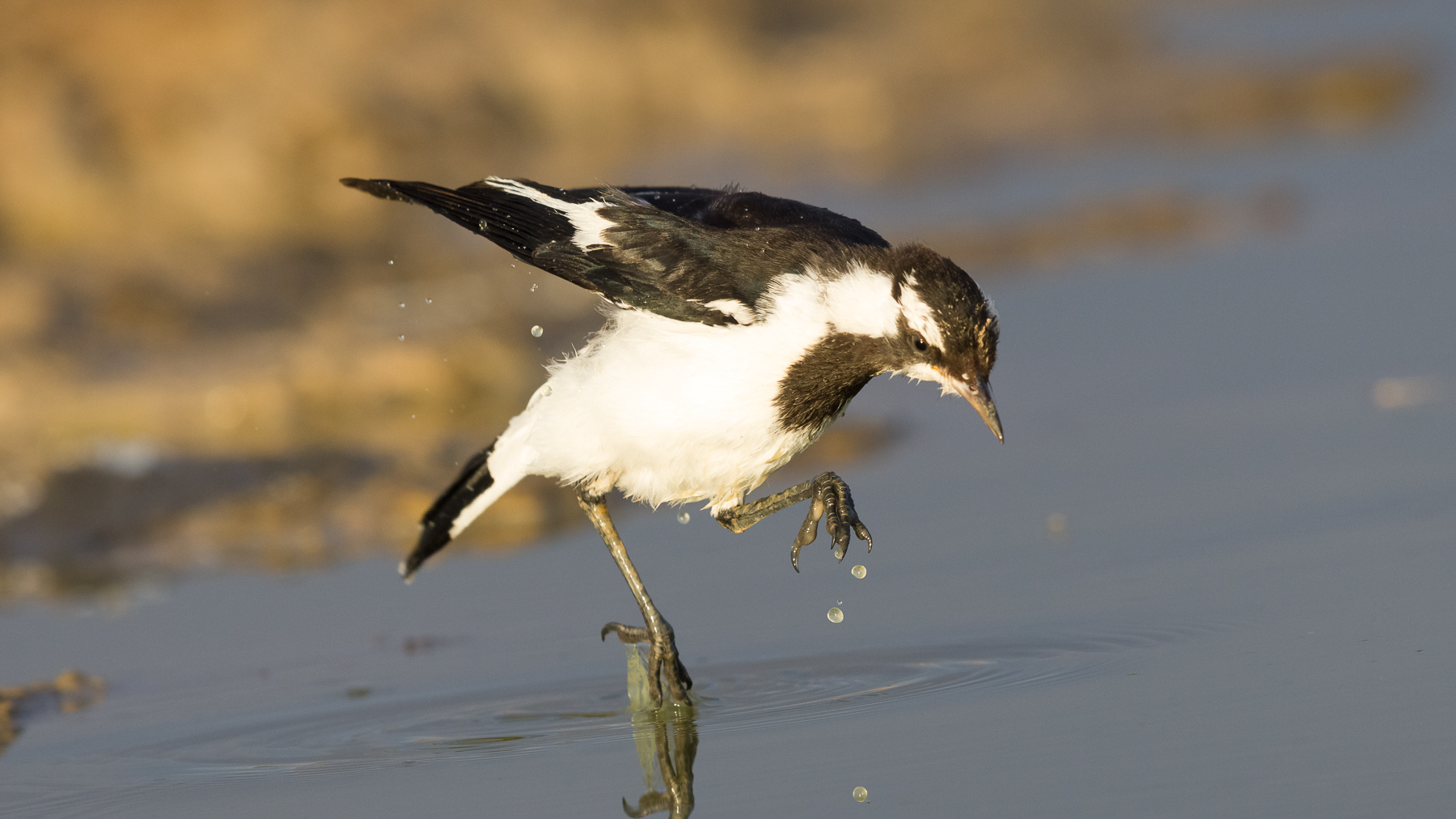 Magpie-lark (Image ID 43496)