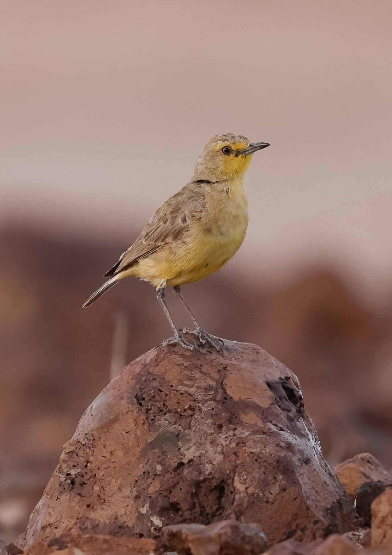 Gibberbird (Image ID 43594)