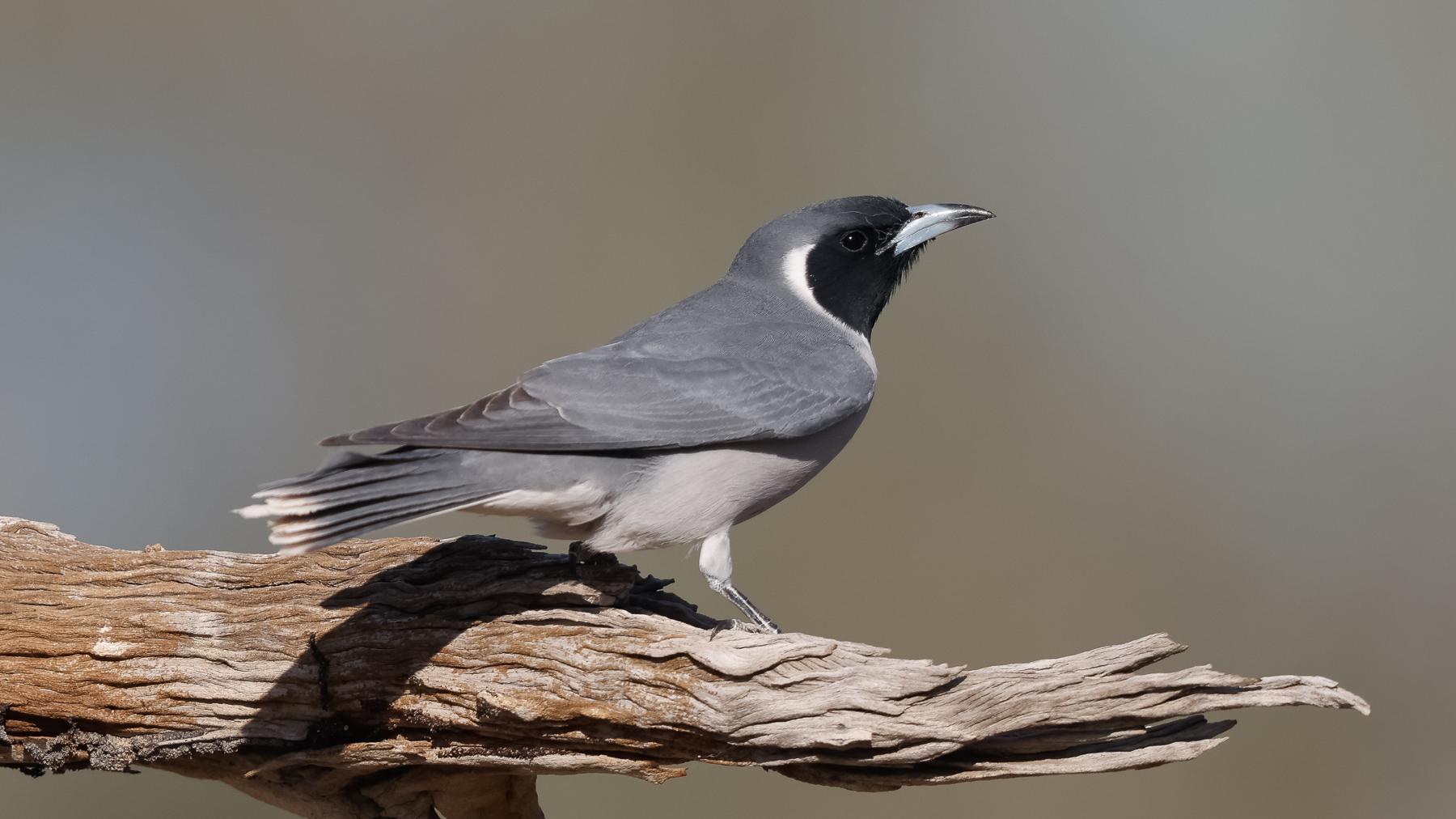 Masked Woodswallow (Image ID 43647)