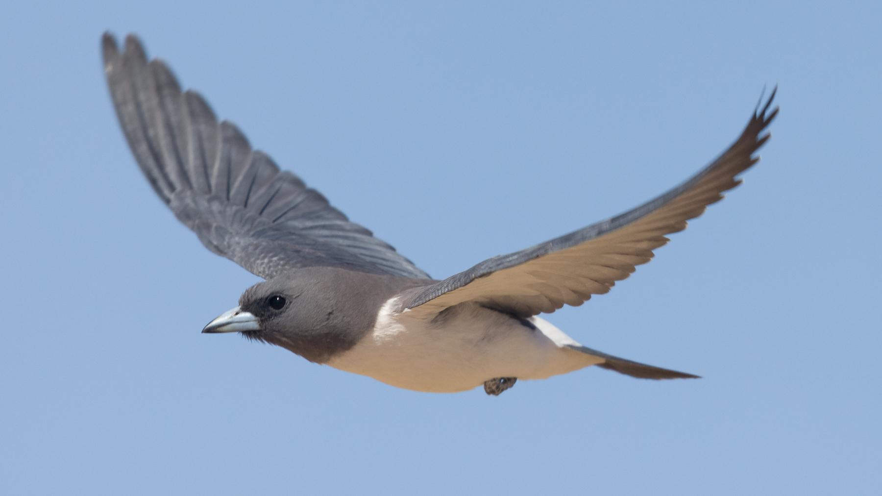 White-breasted Woodswallow (Image ID 43513)