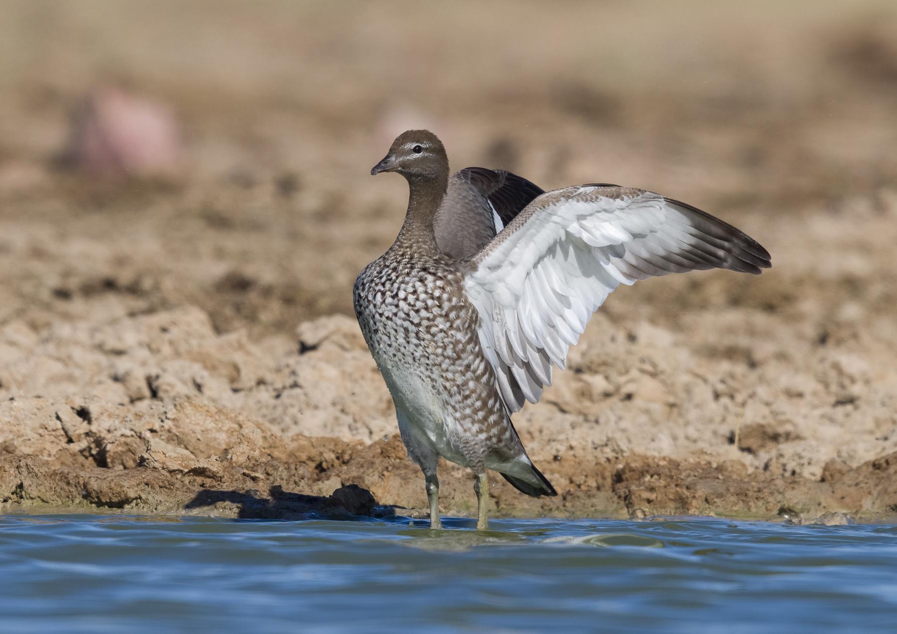 Australian Wood Duck (Image ID 43515)