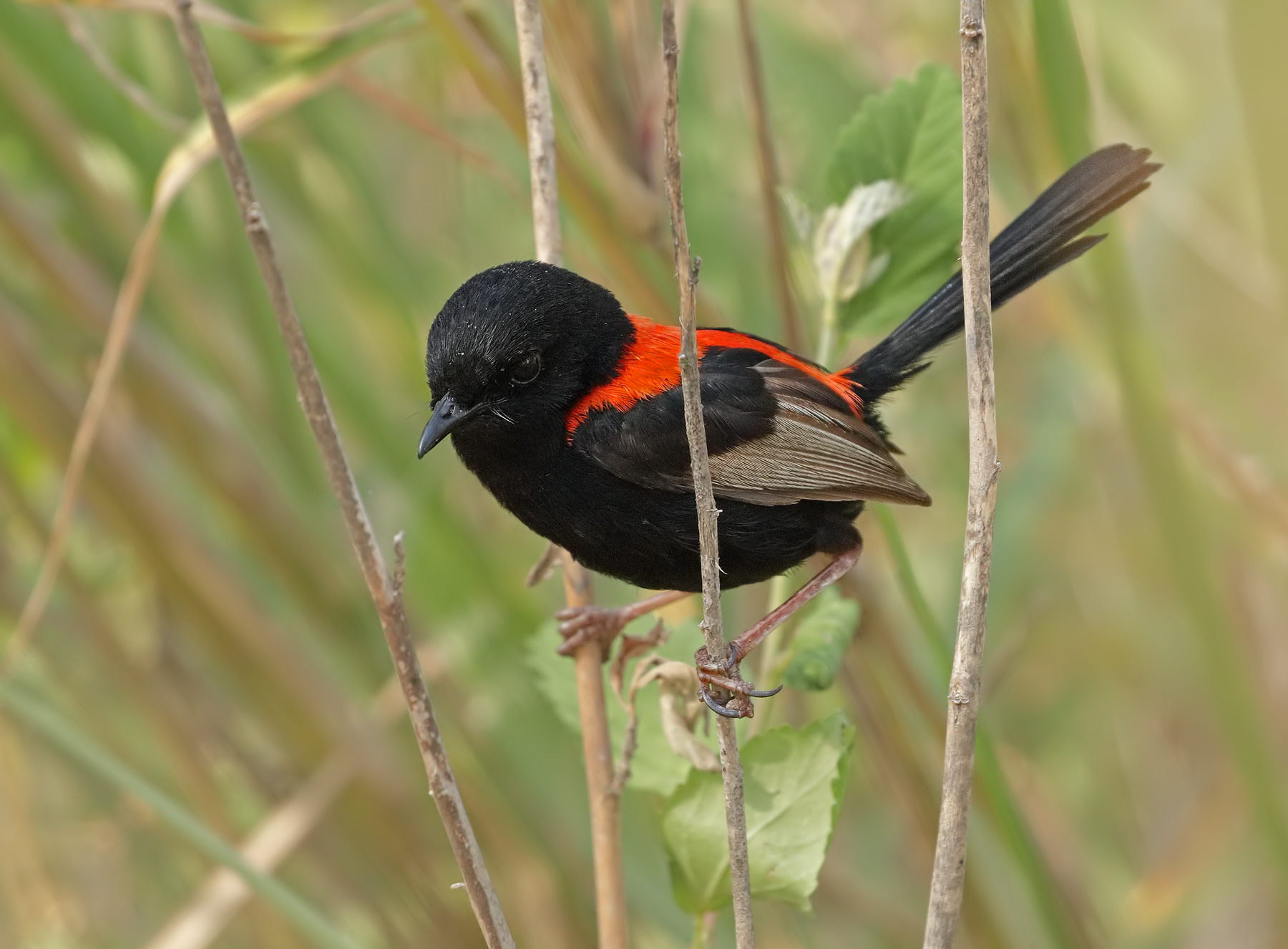 Red-backed Fairy-wren (Image ID 43636)