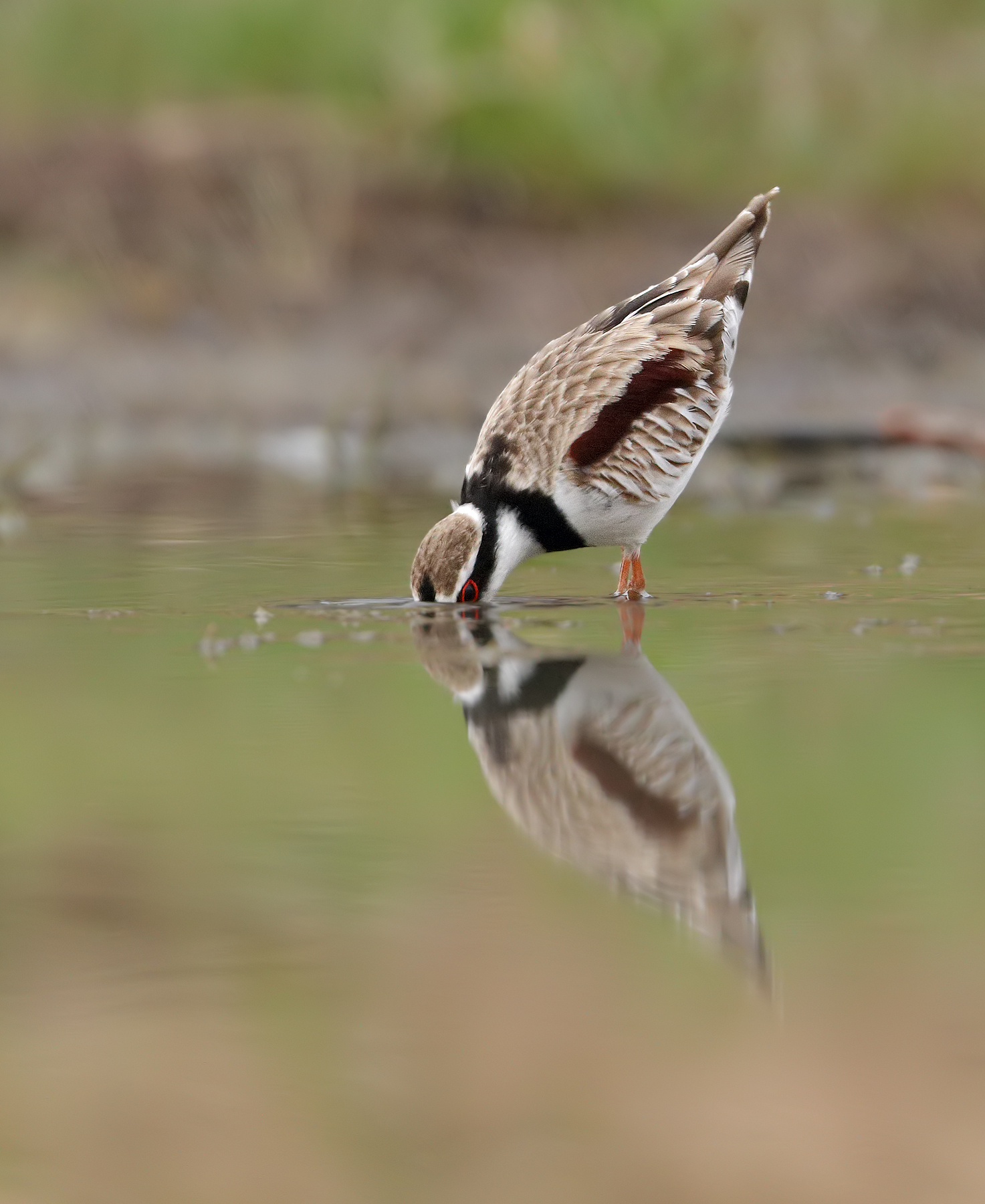Black-fronted Dotterel (Image ID 43398)