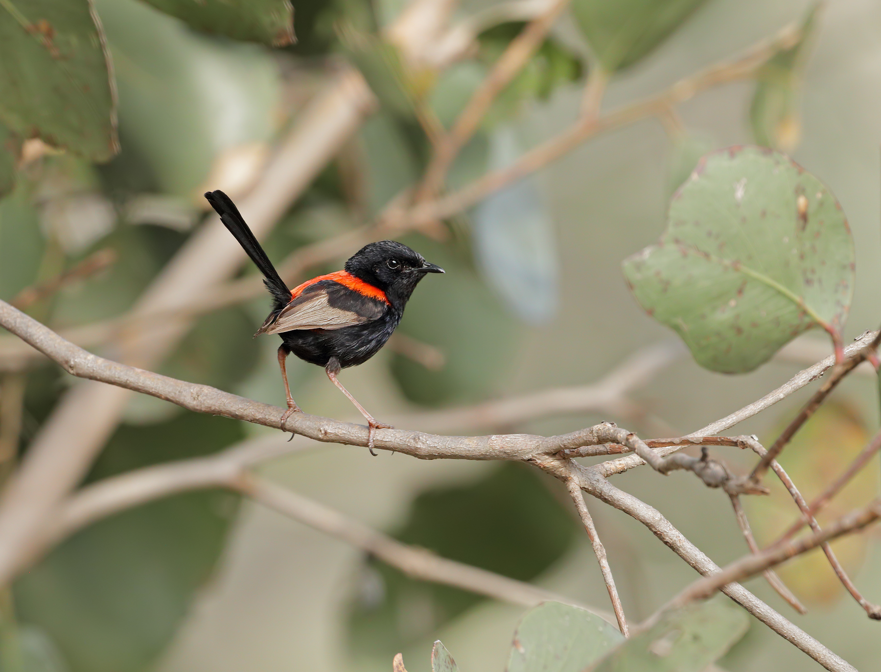 Red-backed Fairy-wren (Image ID 43634)
