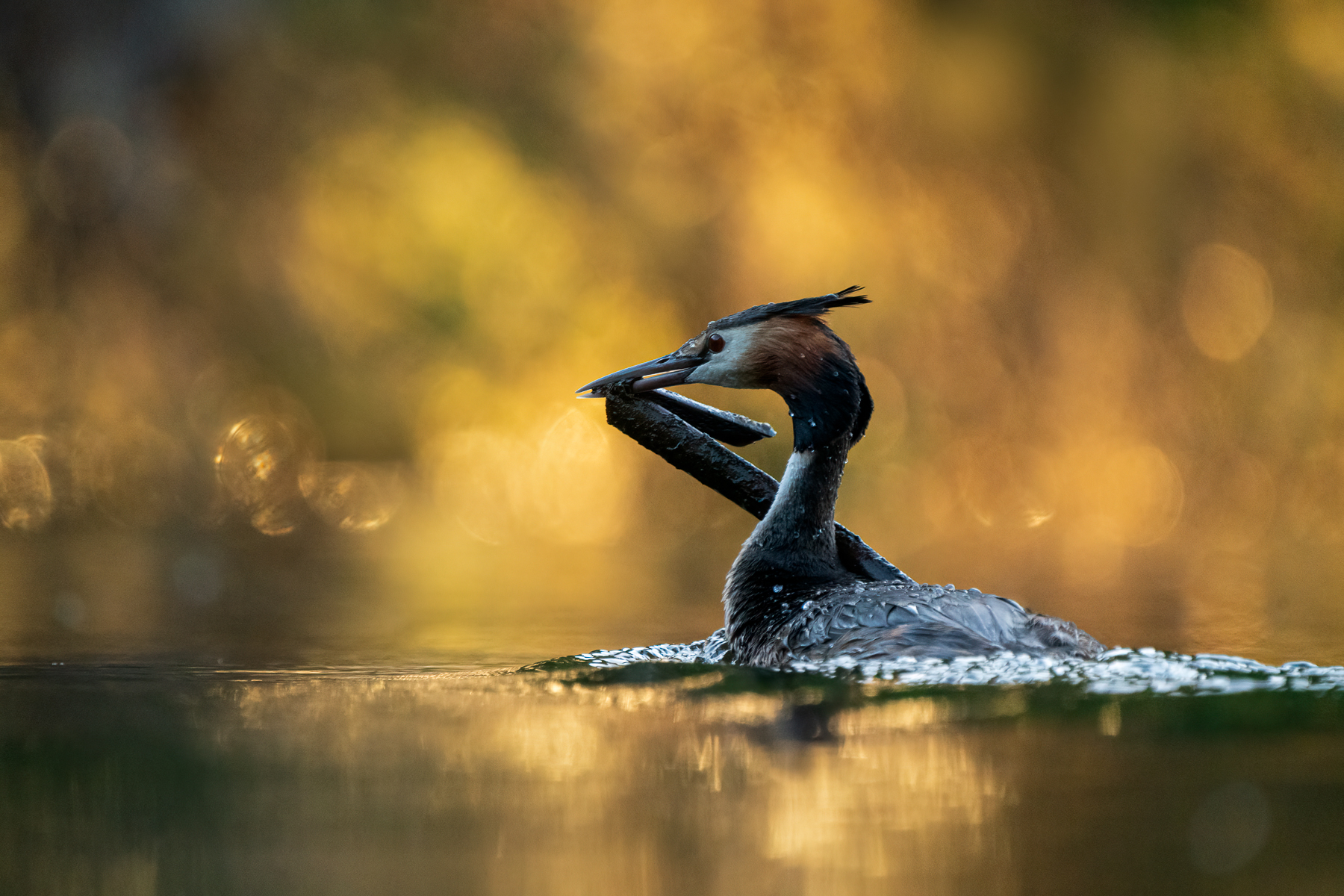 Great Crested Grebe (Image ID 43561)