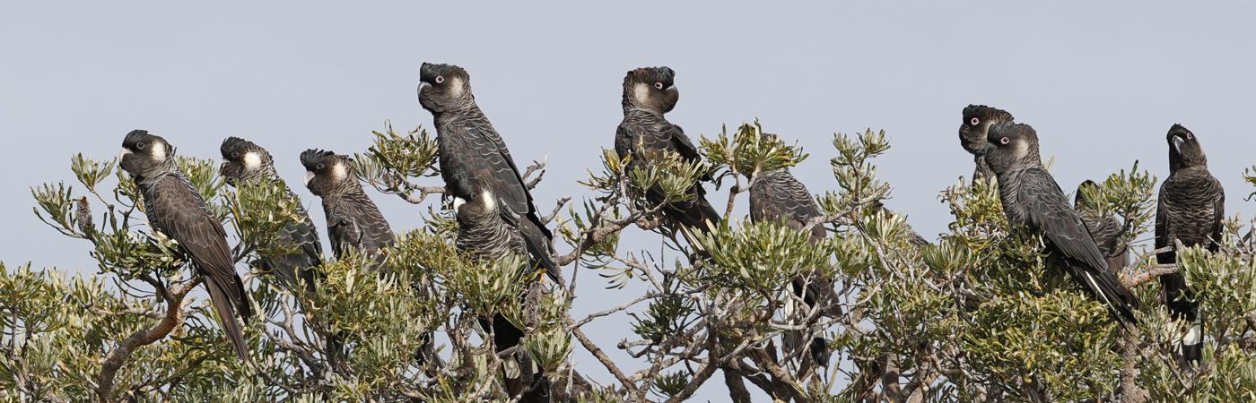 Carnaby's Black-Cockatoo (Image ID 43624)