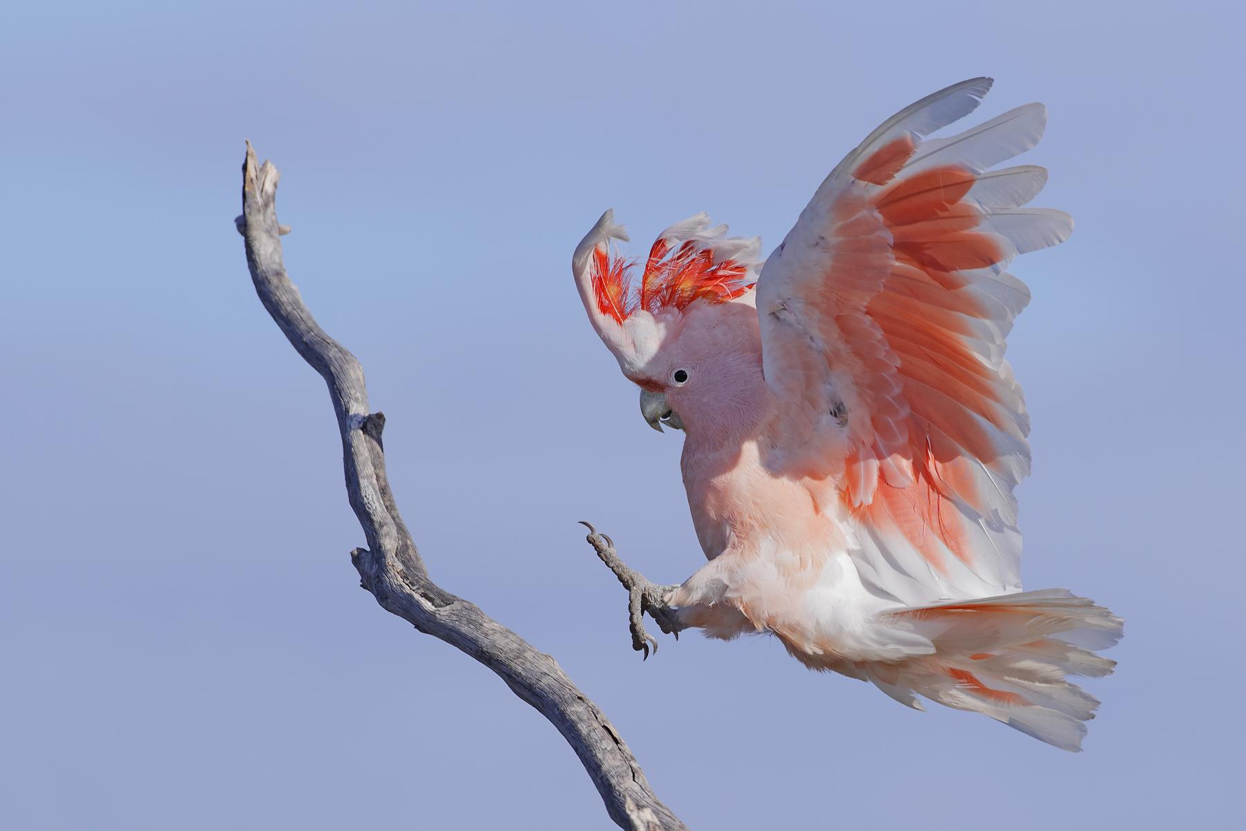 Major Mitchell's Cockatoo (Image ID 43536)