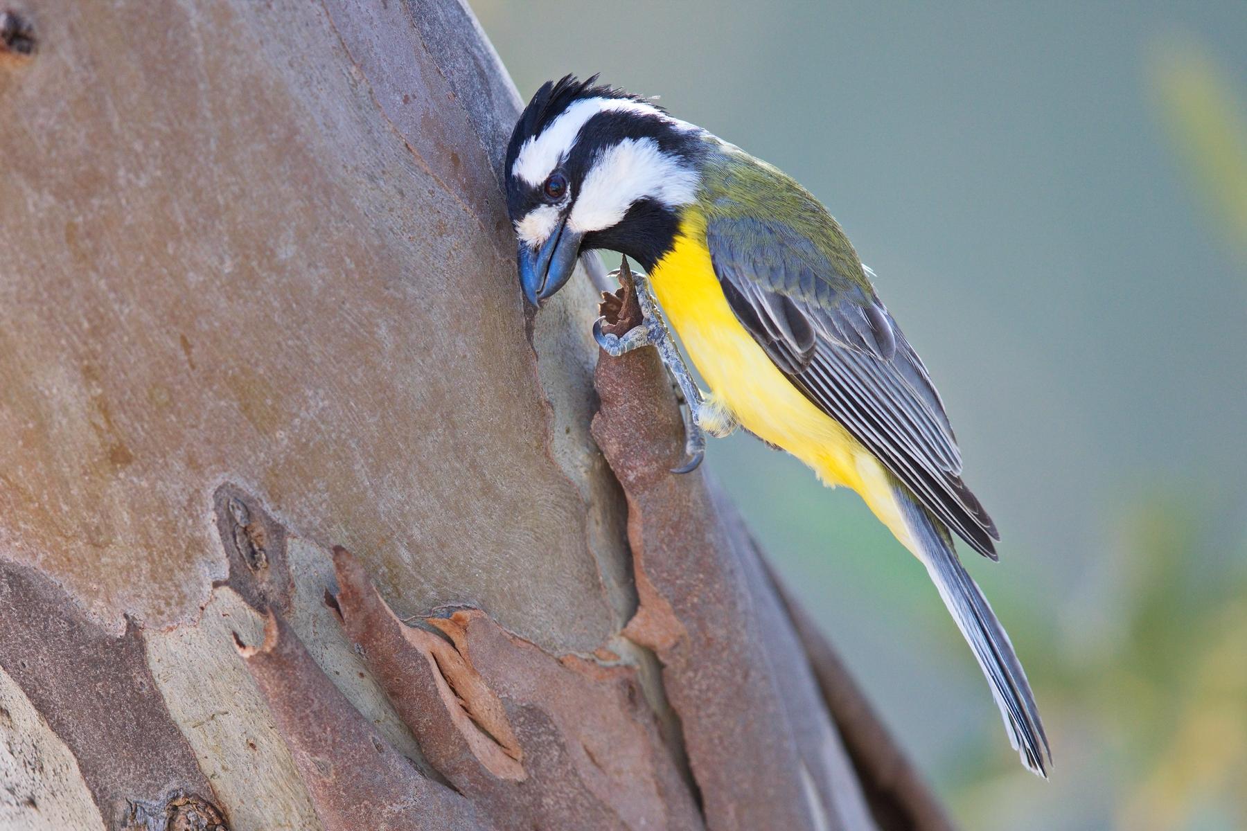Eastern Shrike-tit (Image ID 43359)