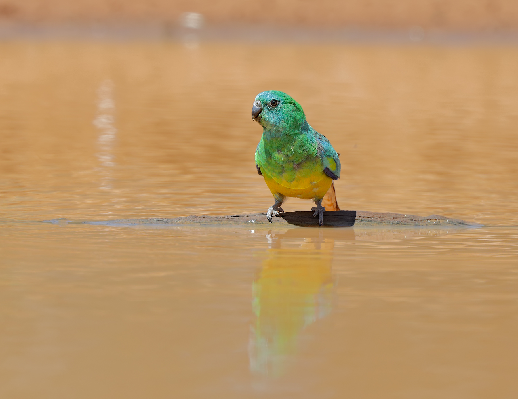 Red-rumped Parrot (Image ID 43473)