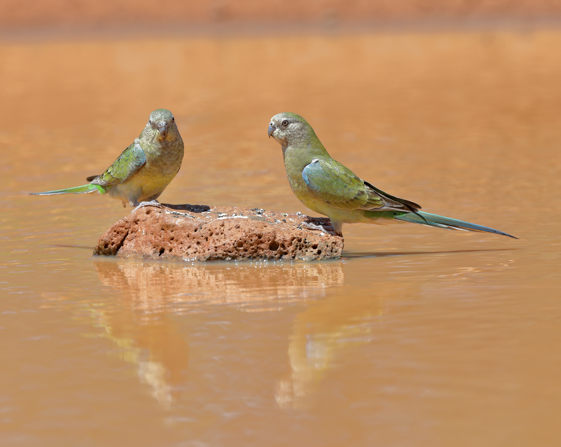 Red-rumped Parrot (Image ID 43474)