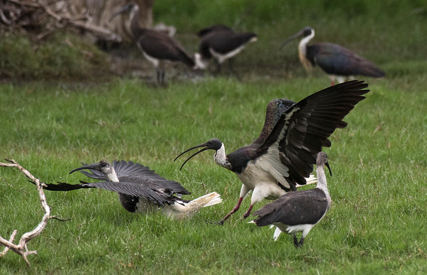 Straw-necked Ibis (Image ID 43546)