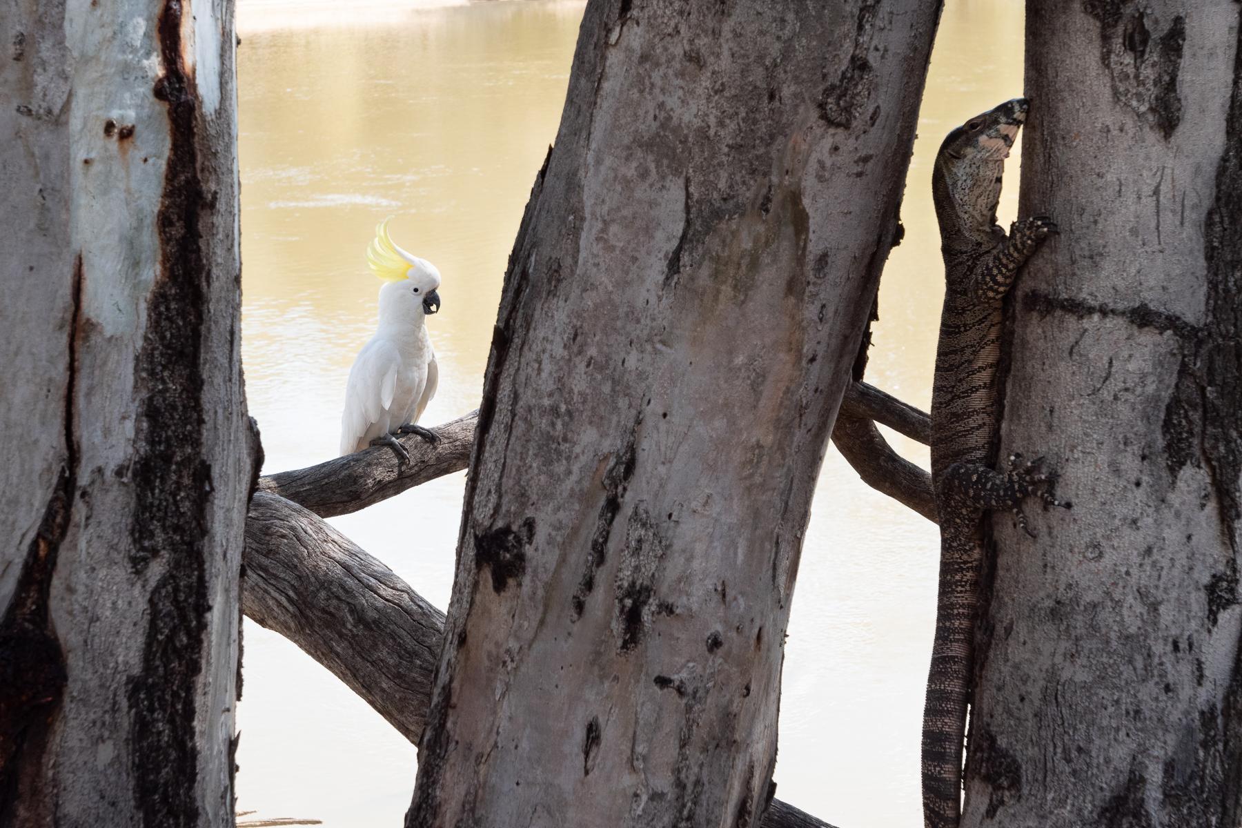 Sulphur-crested Cockatoo (Image ID 43264)