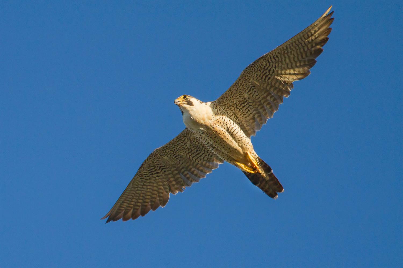 Peregrine Falcon (Image ID 43283)