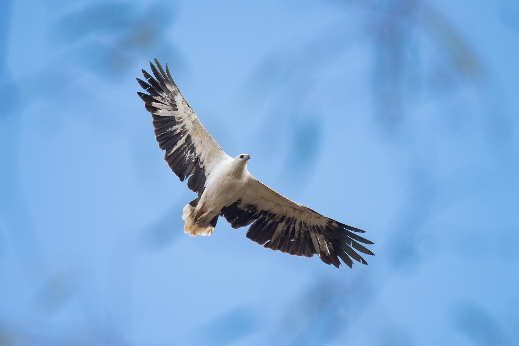 White-bellied Sea-Eagle (Image ID 43256)